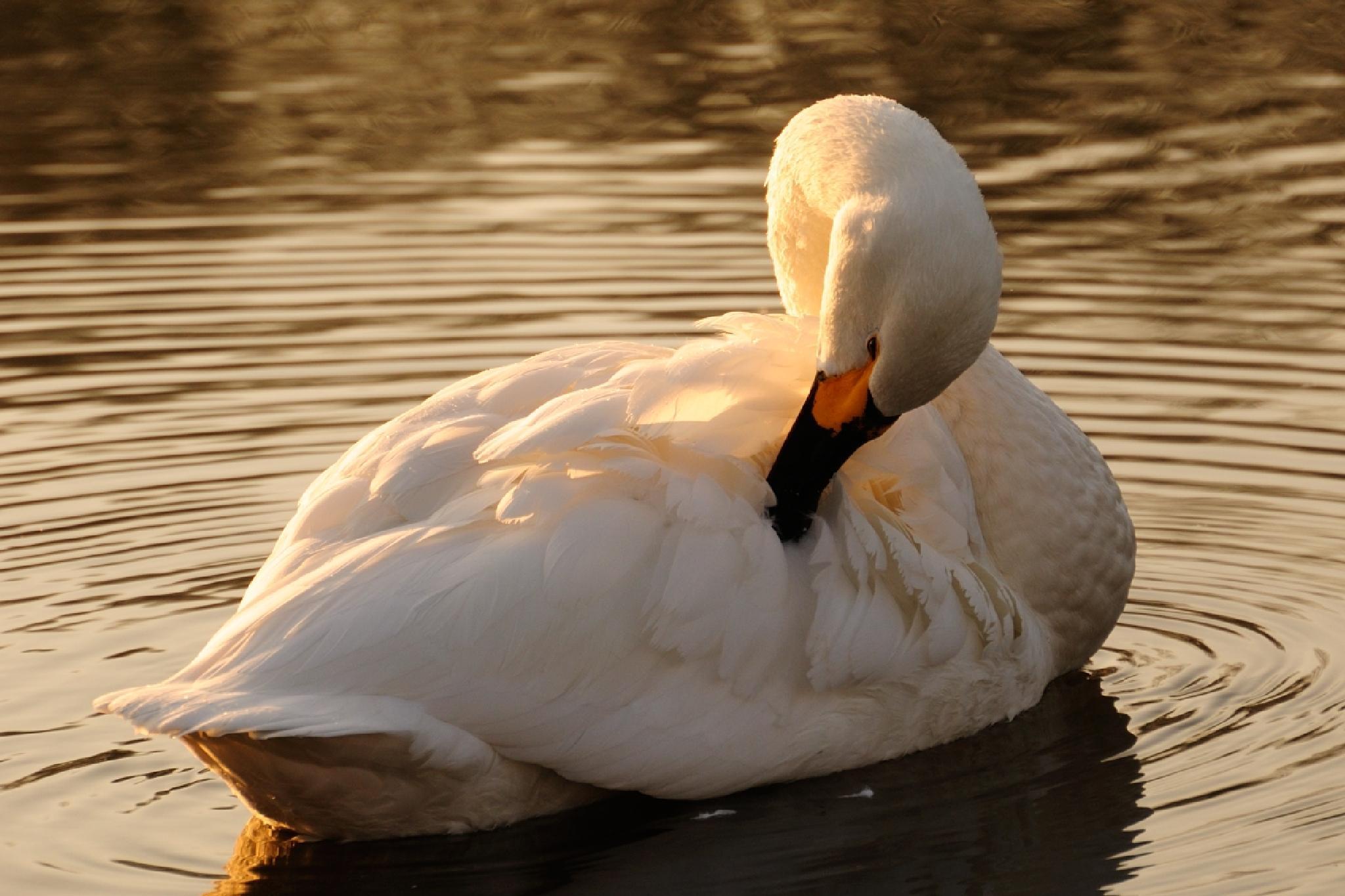 Tundra swan by Mubi.A