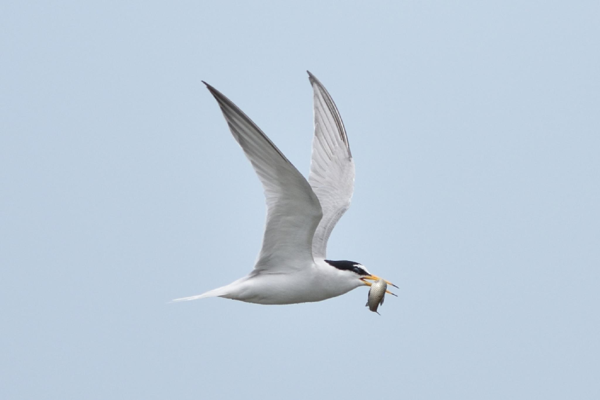 Fish ! , Little tern by Mubi.A
