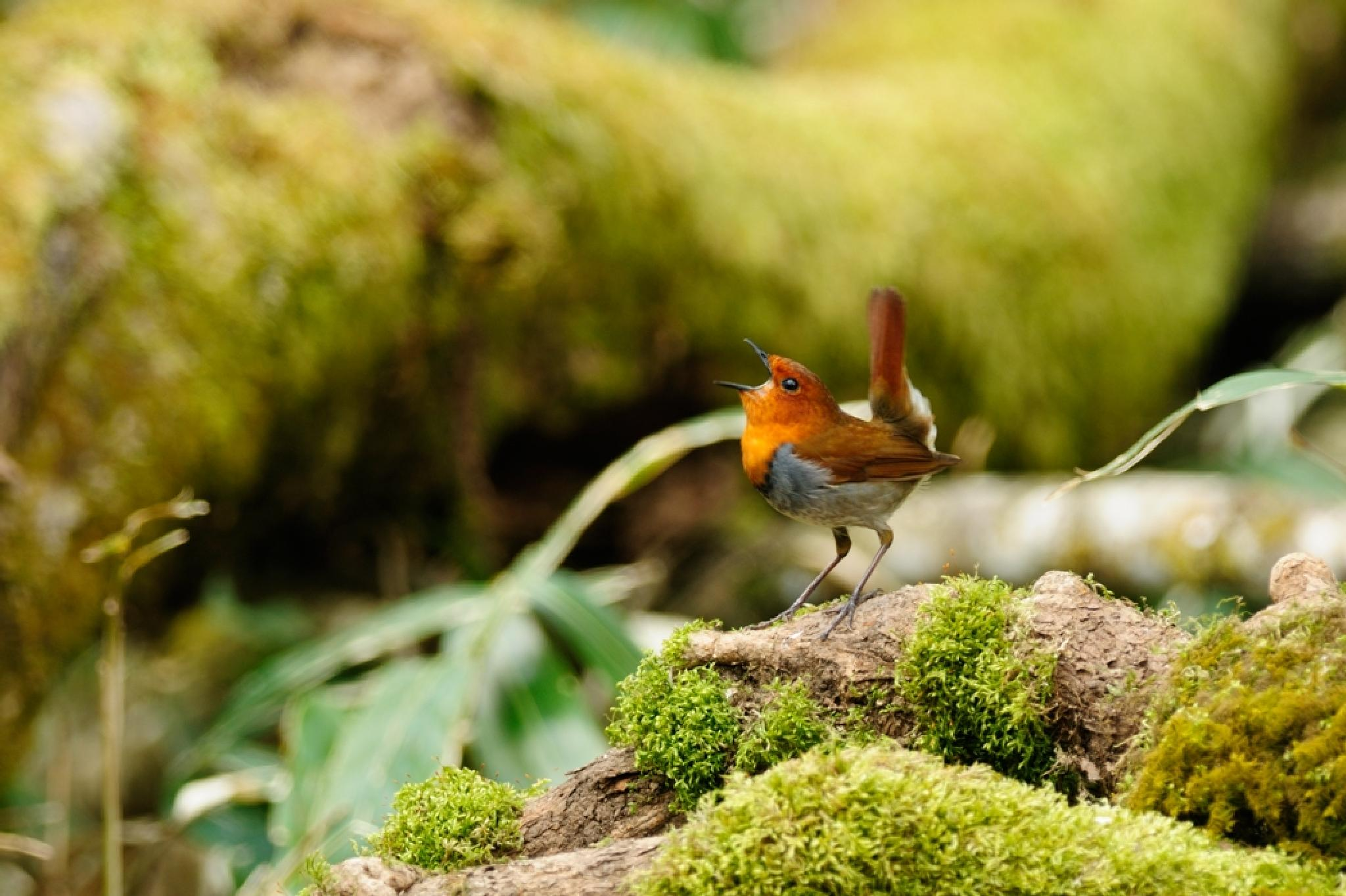Japanese robin by Mubi.A