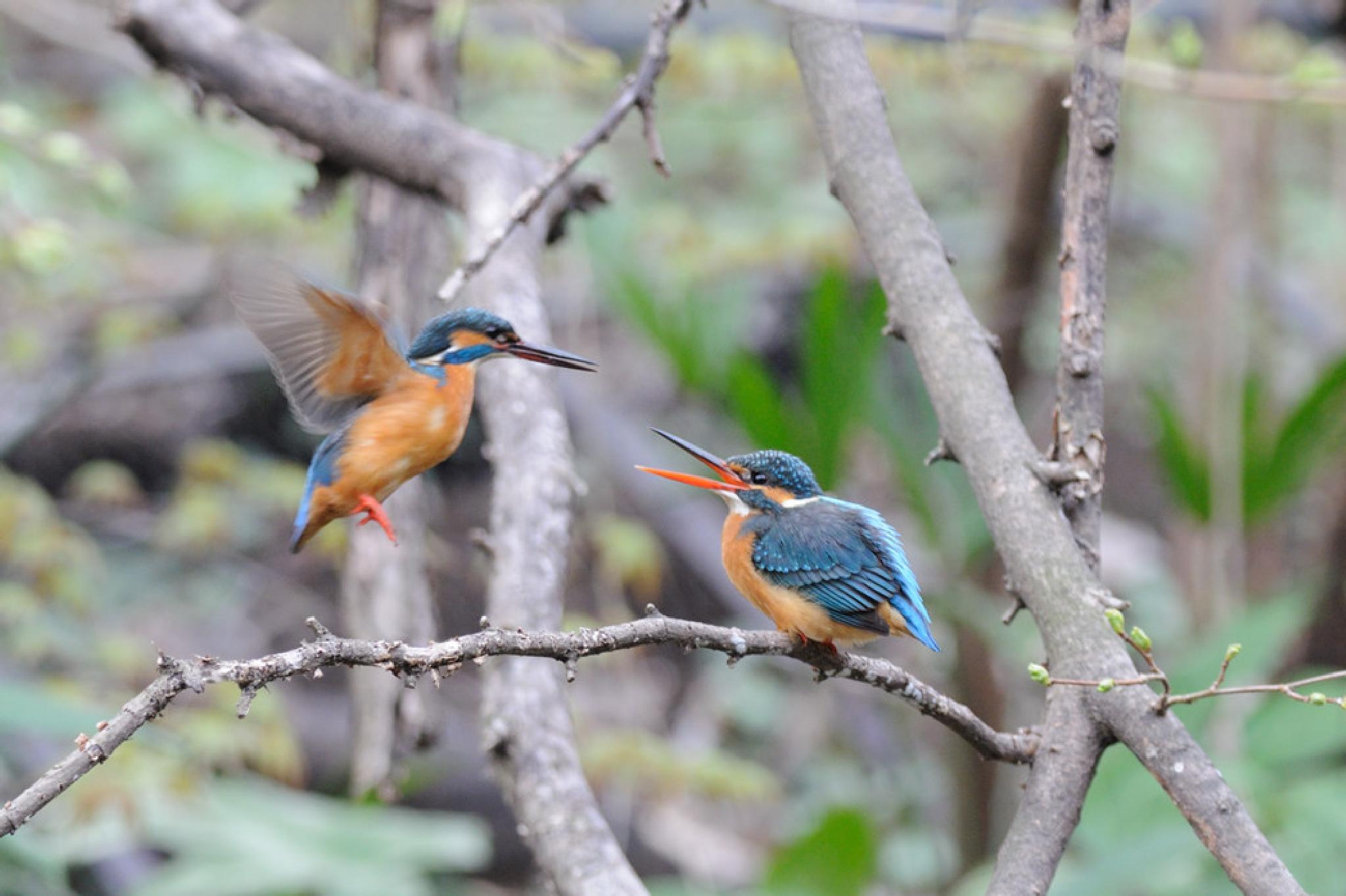 Kingfisher Pair by Mubi.A