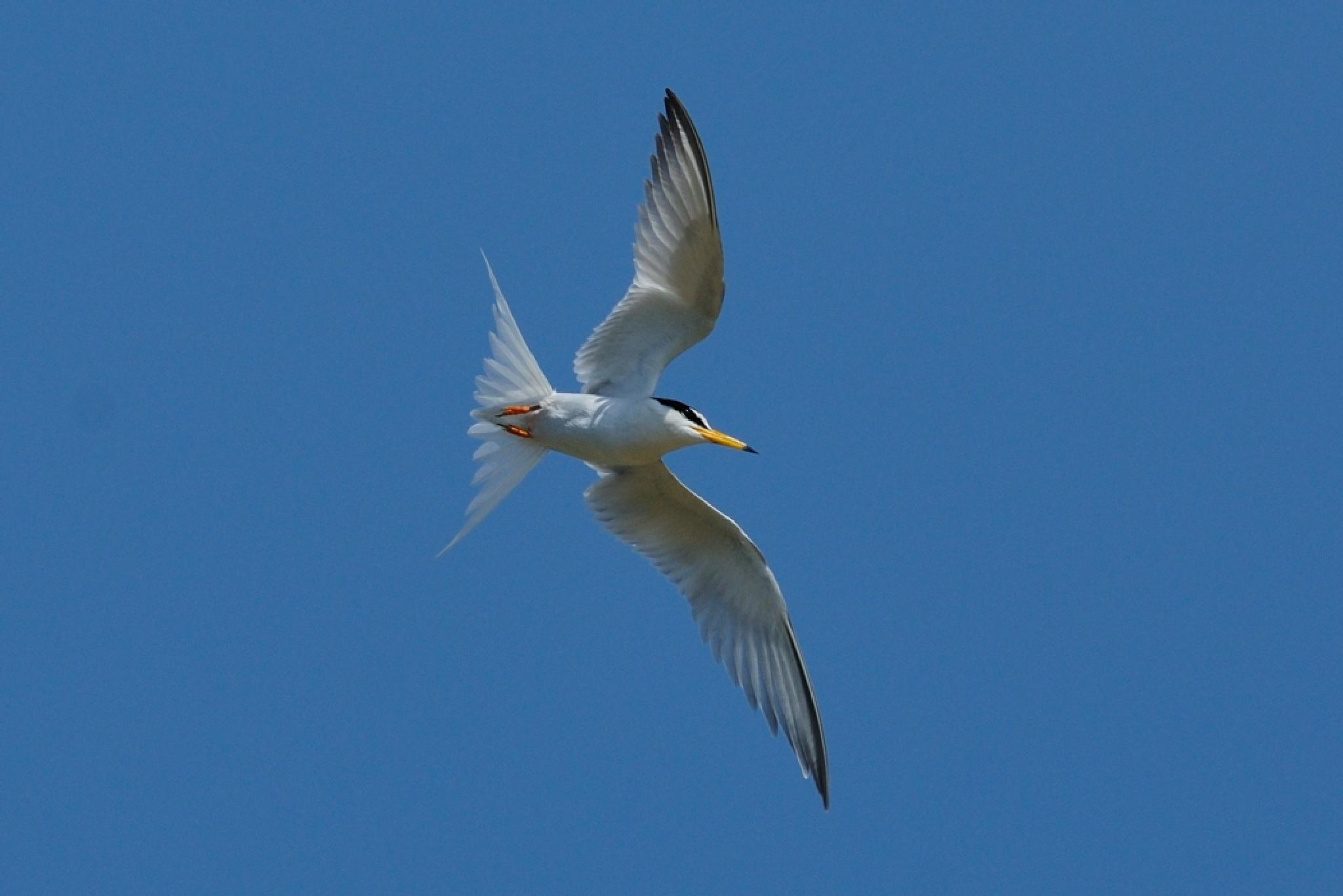Little tern by Mubi.A