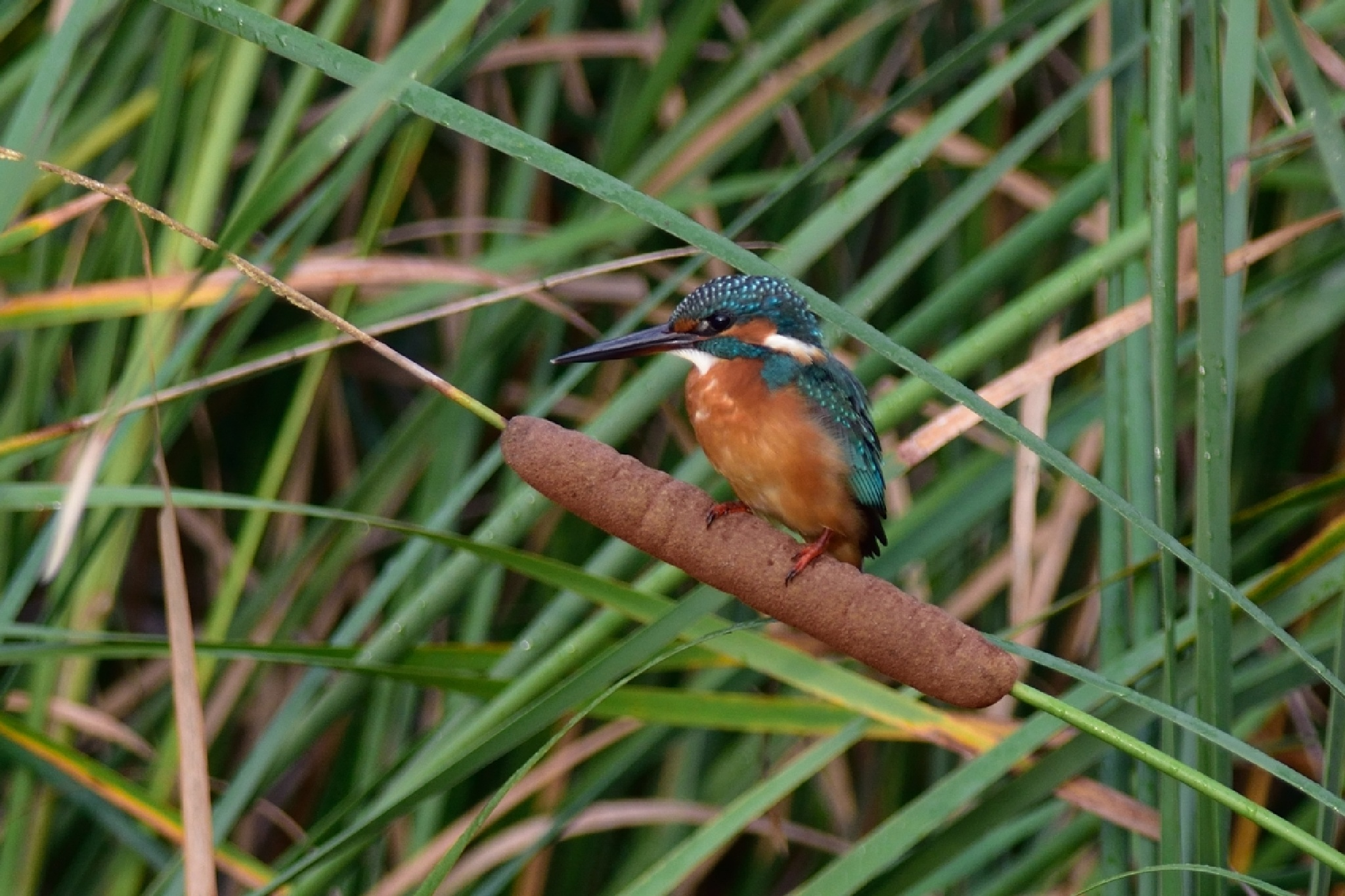 Kingfisher on cat's-tail by Mubi.A