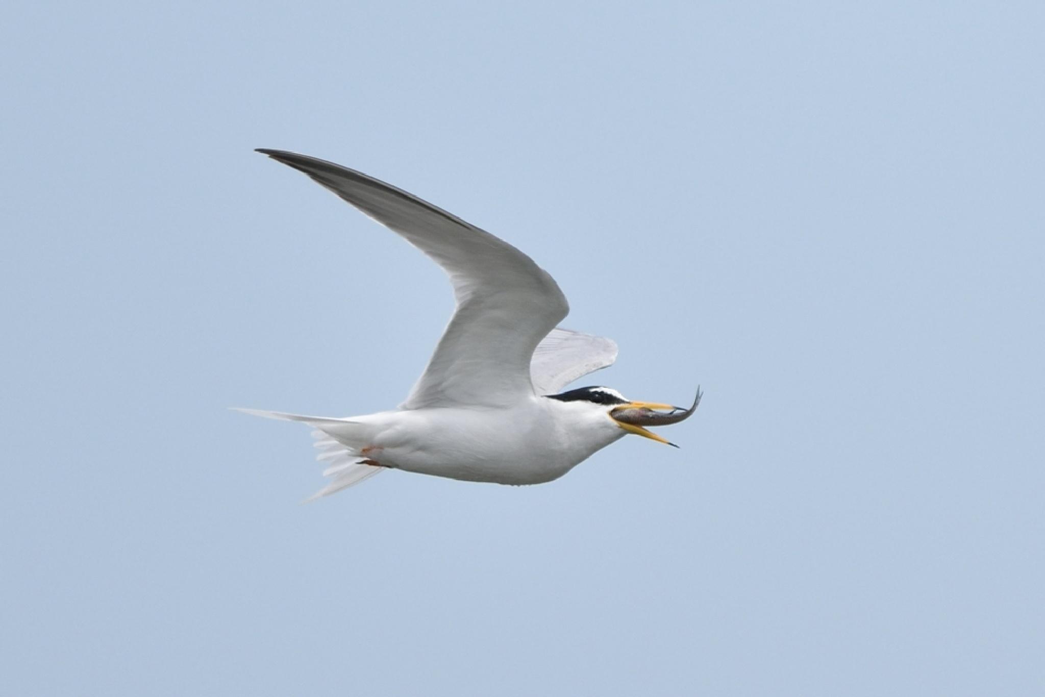 Flying Eat ! , Little tern by Mubi.A