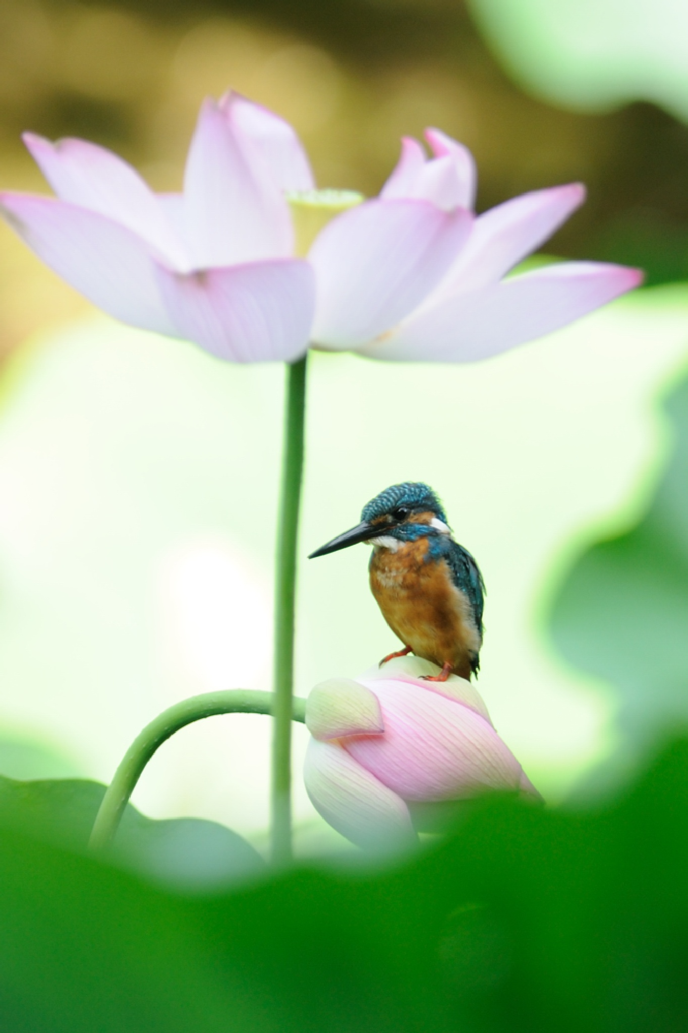 Kingfisher on Lotus Bud by Mubi.A