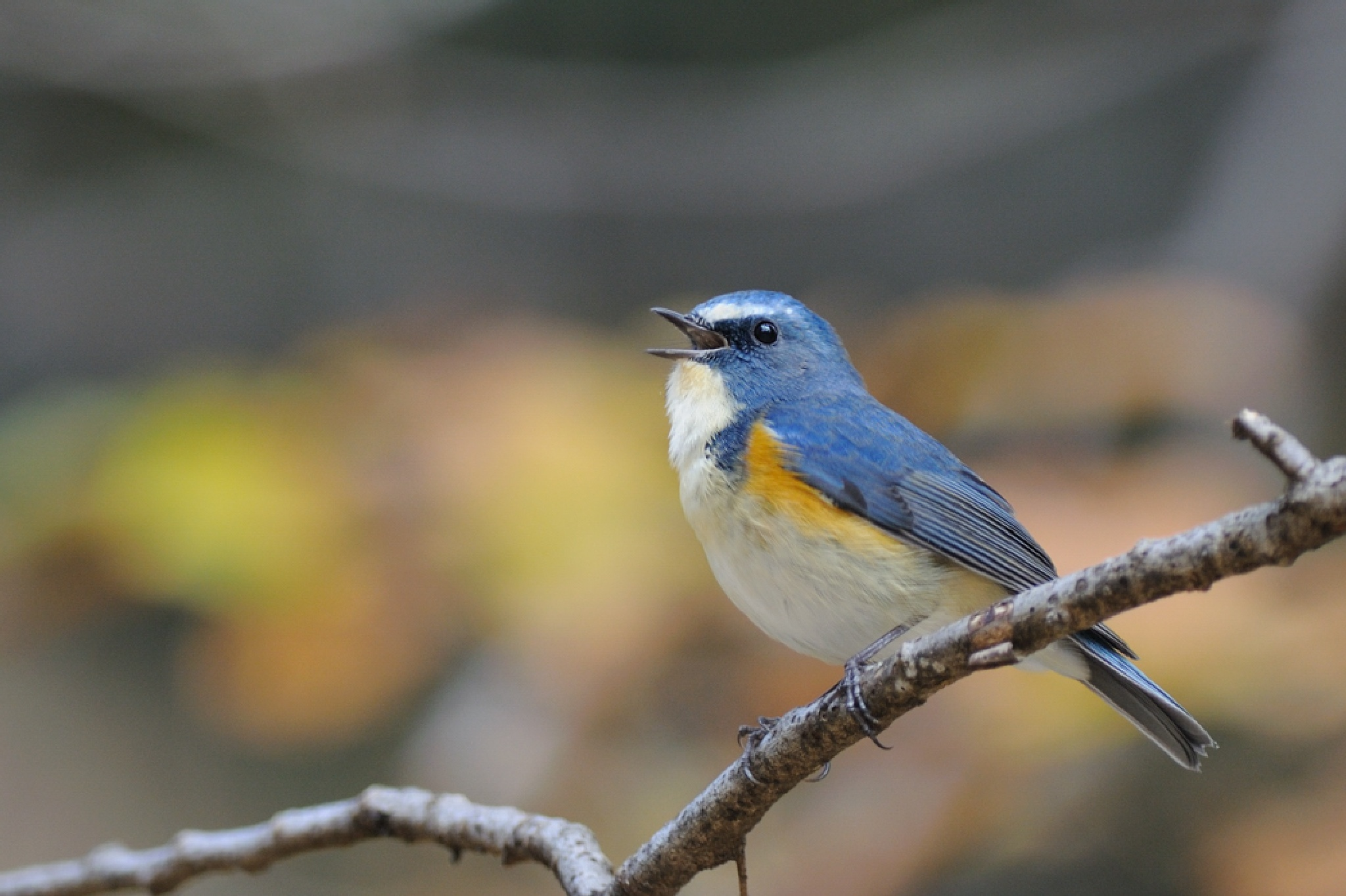 Red-flanked bluetail by Mubi.A