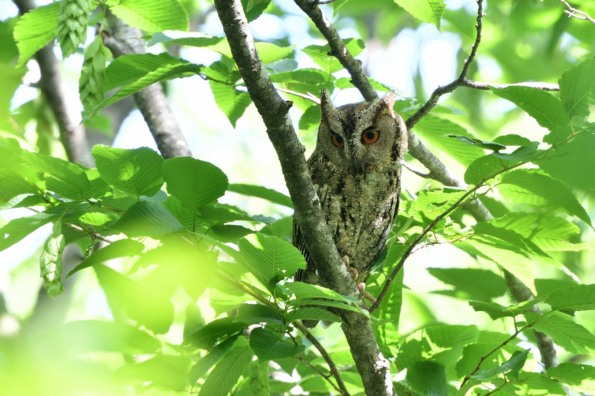 Sunda Scops Owl by Mubi.A