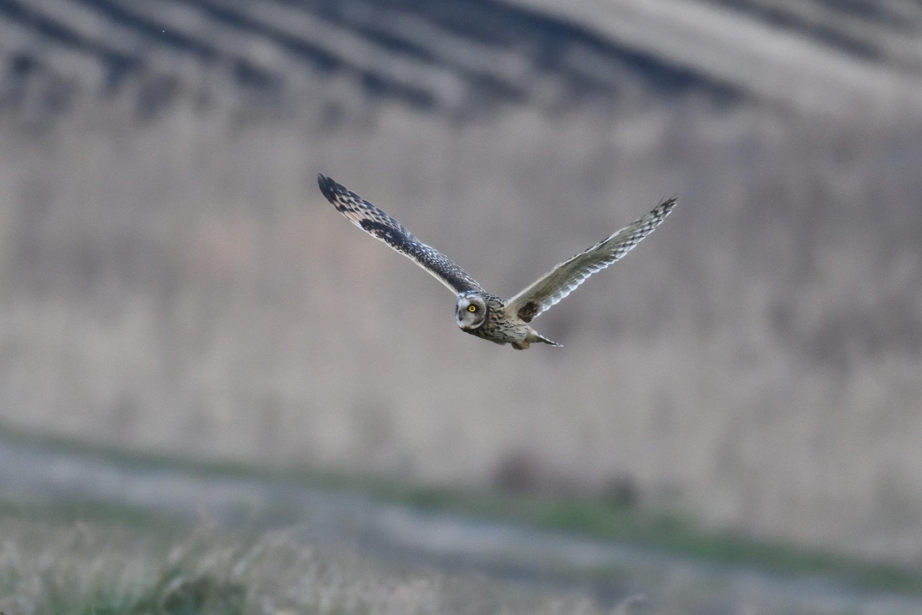 Short-Eard Owl by Mubi.A