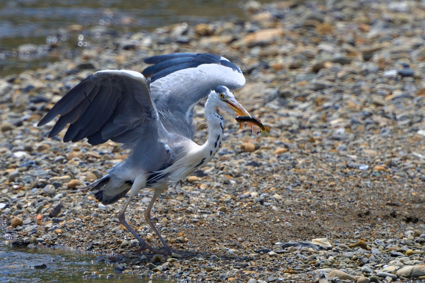 Grey Heron gets Pale Chub by Mubi.A