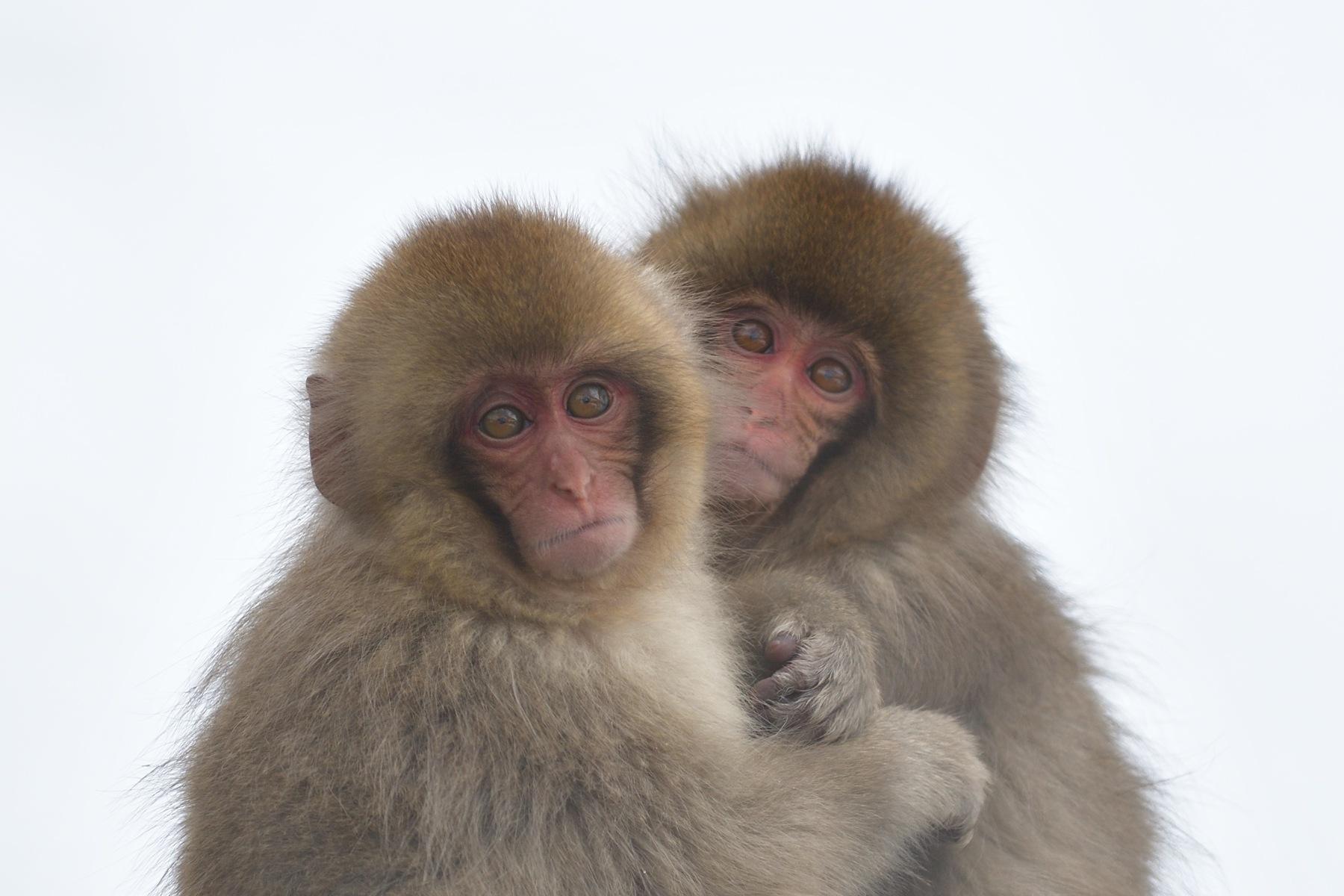 Snow Monkey Babies by Mubi.A