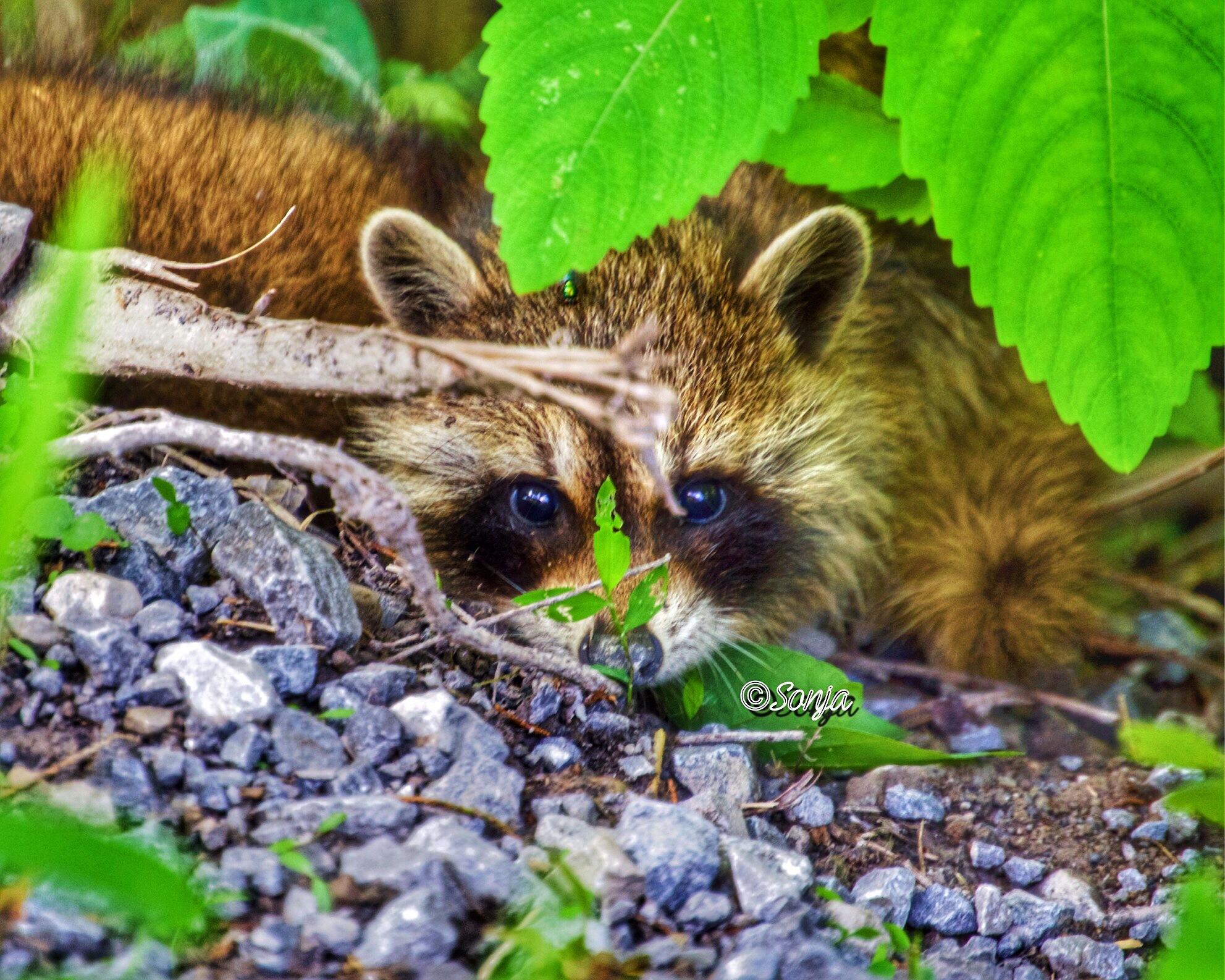 Raccoon  by Sonja McCoy
