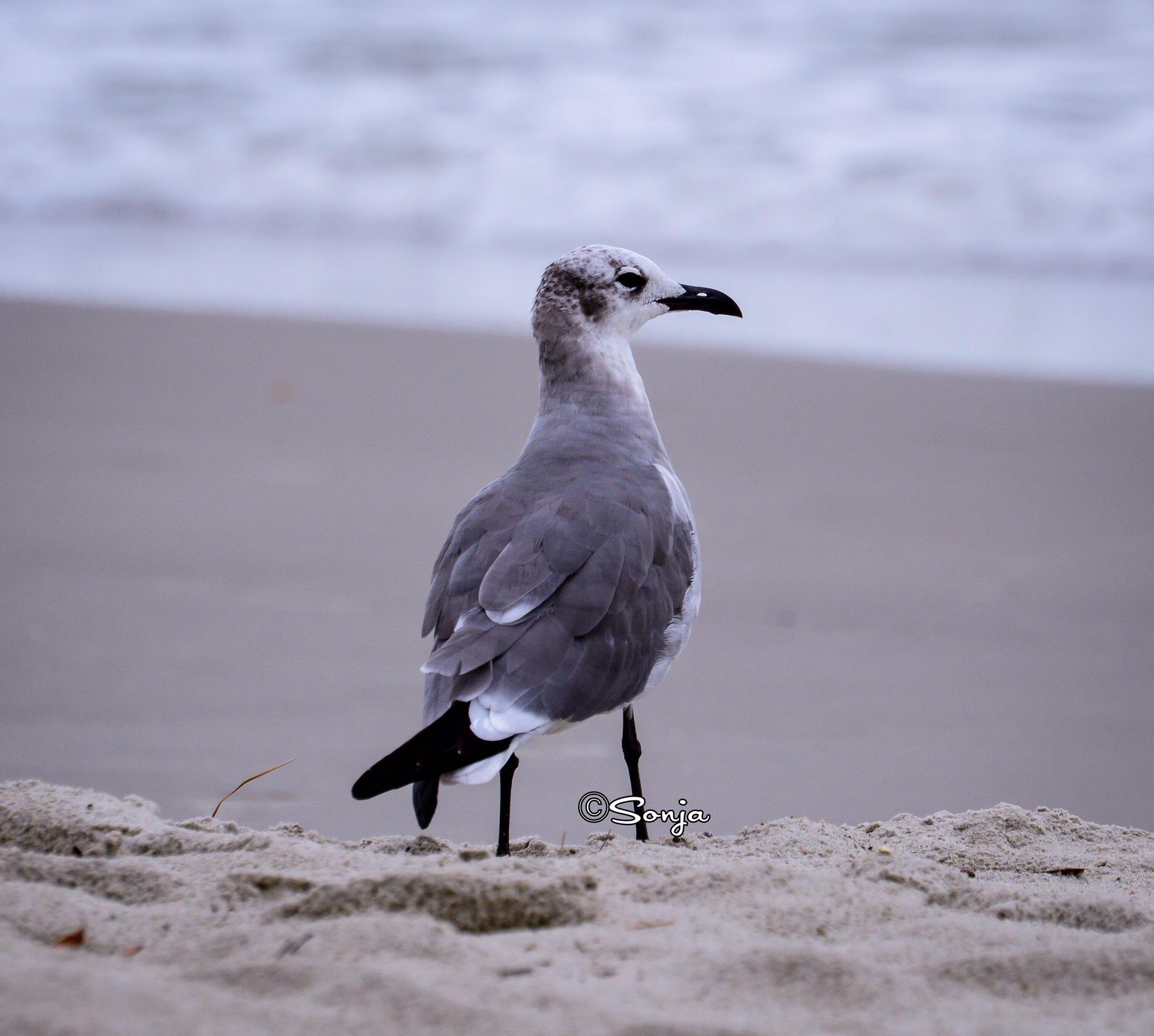 Seagulls  by Sonja McCoy