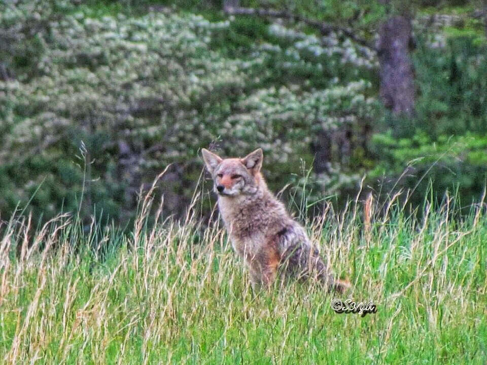 Coyote on the hillside by Sonja McCoy