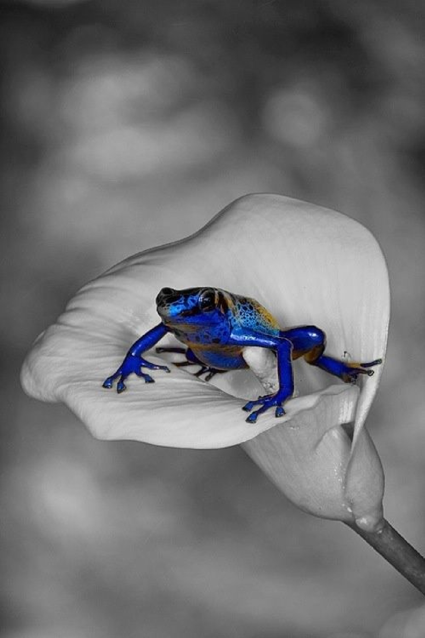 blue frog by Thierry_Philip