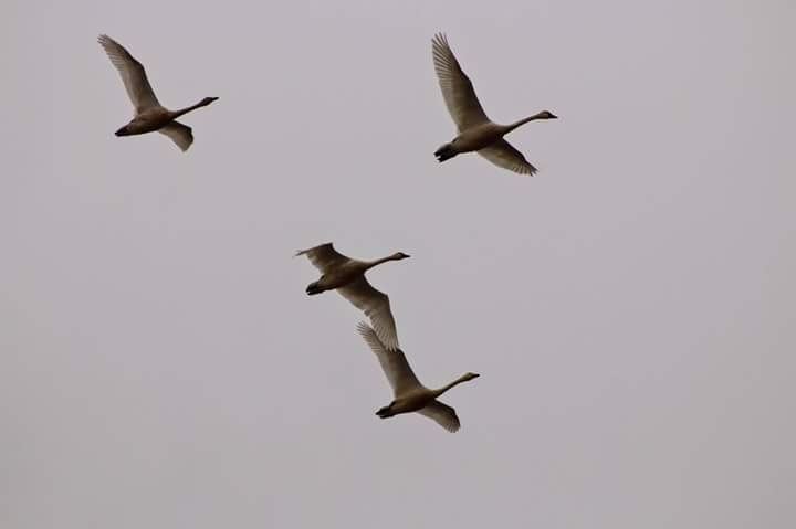 Geese by Laurie Puglia