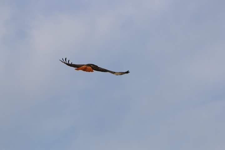 Red-Trailedv Hawk by Laurie Puglia