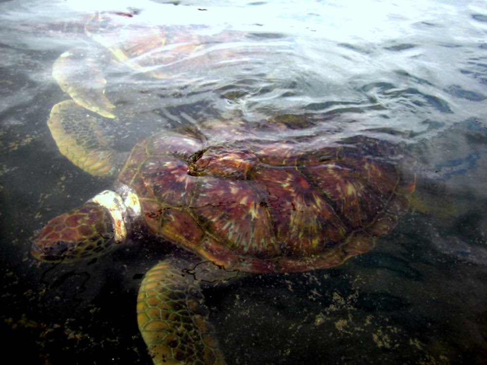 Sea Turtle by Laurie Puglia