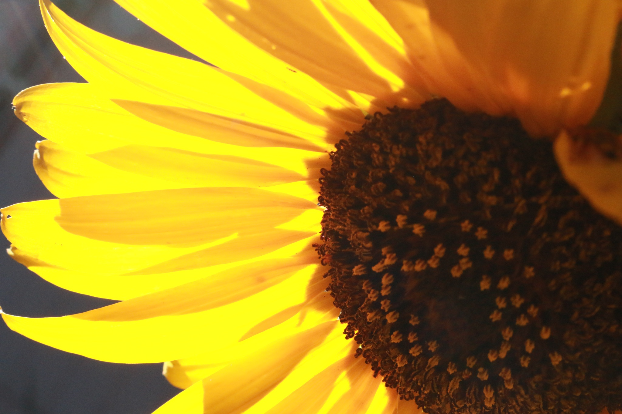 Sunflower by Laurie Puglia