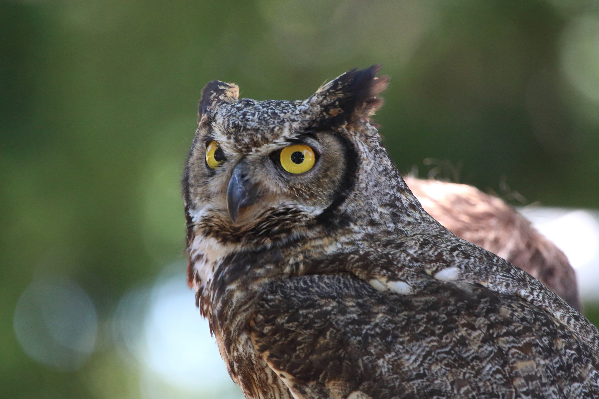 Deuteronomy 14:16  The little owl, and the great owl, and the water hen... by Laurie Puglia