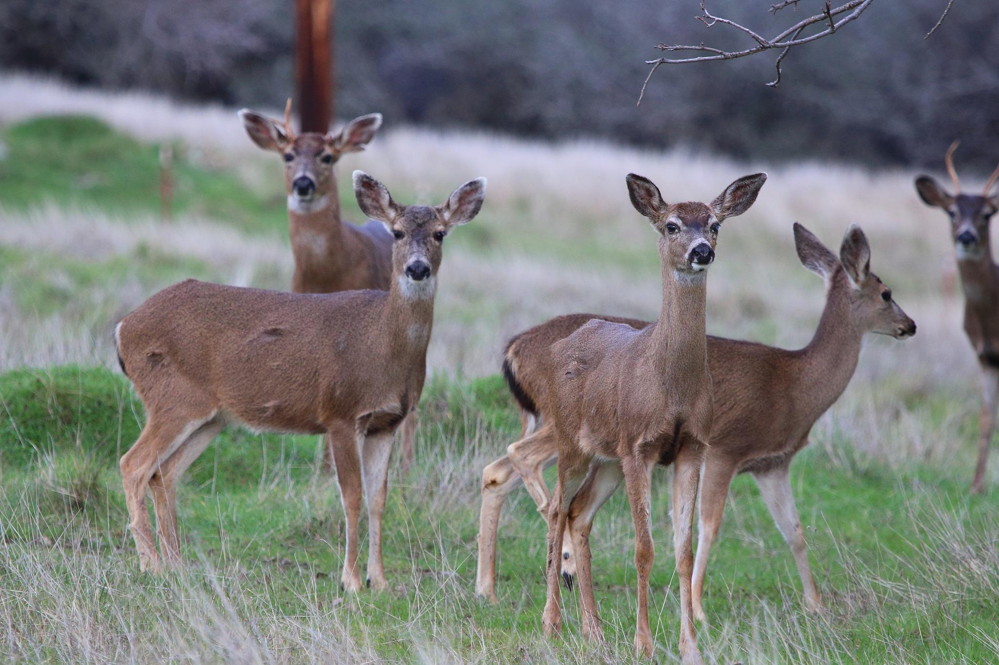Deer by Laurie Puglia