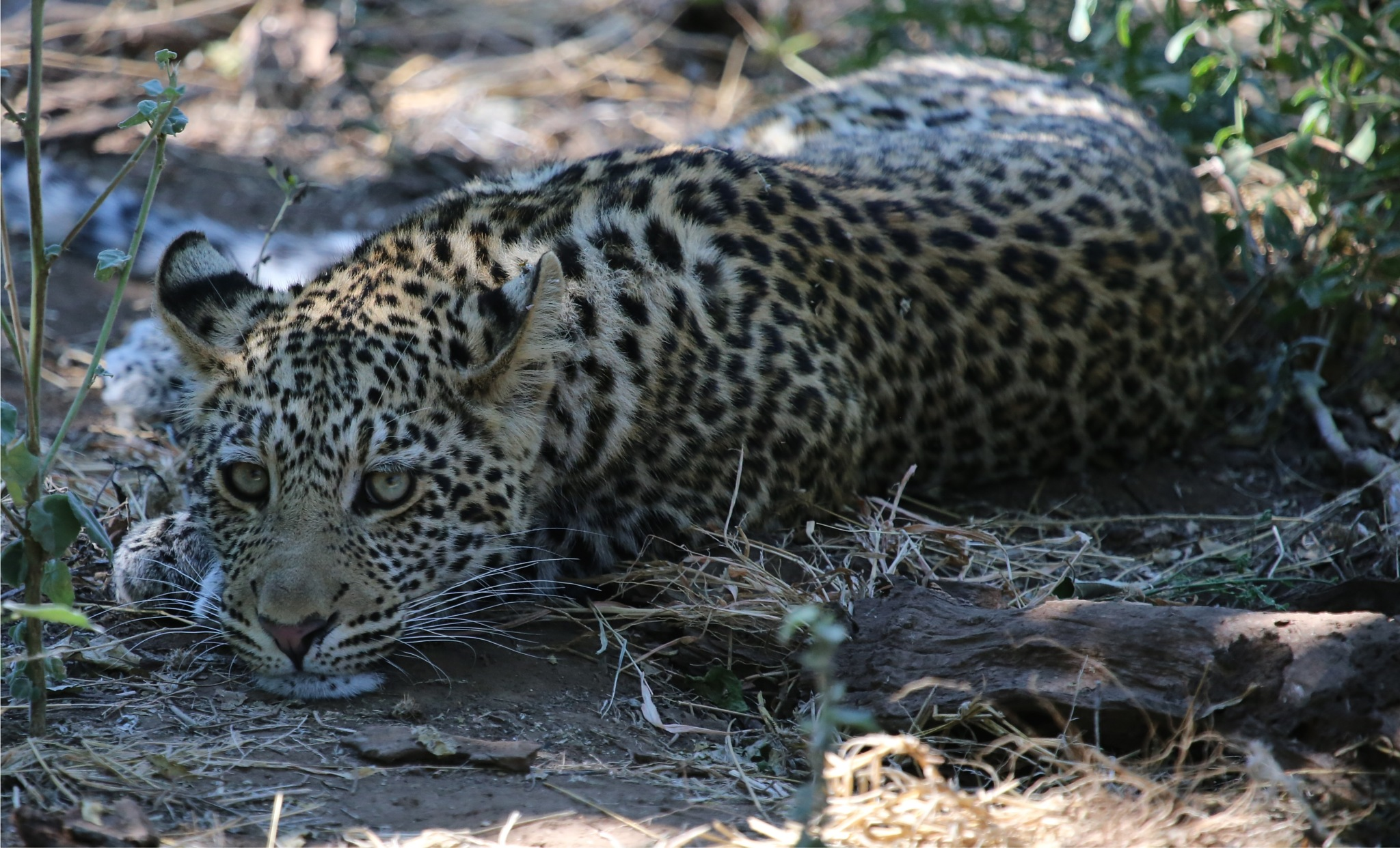 Okavango Delta, Botswana Leopard by Laurie Puglia