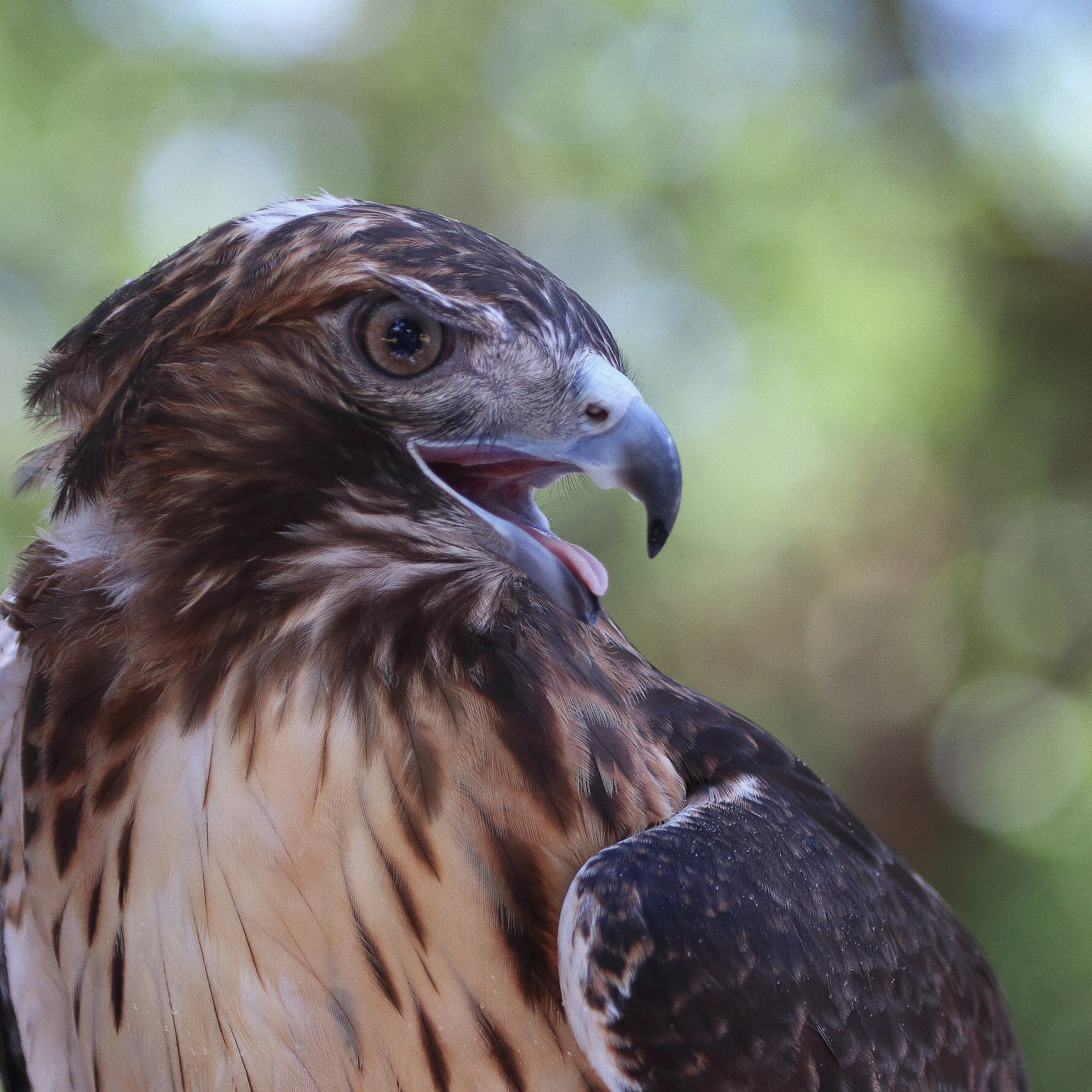 Red Tailed Hawk by Laurie Puglia