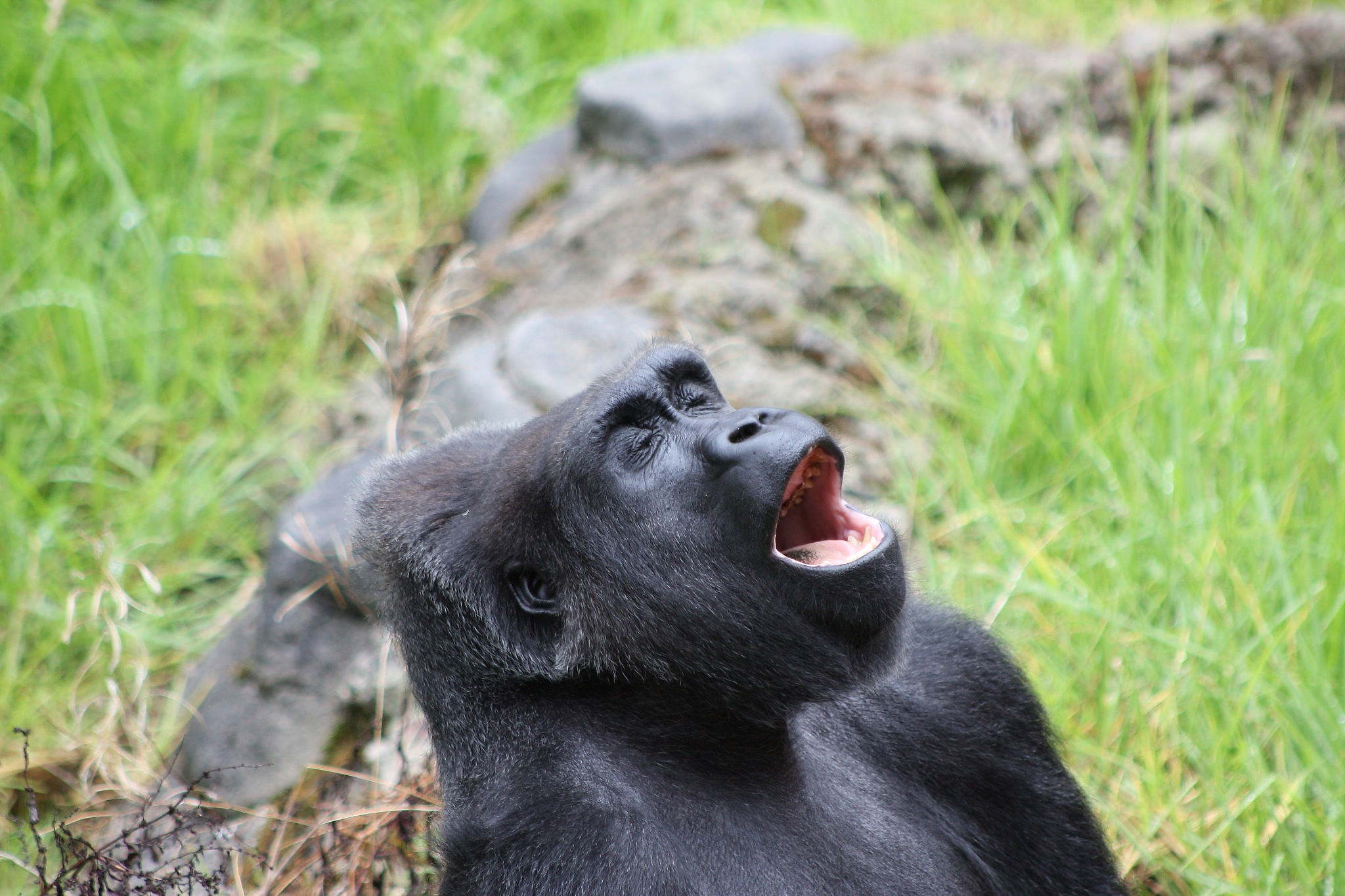 Singing Gorilla by Laurie Puglia