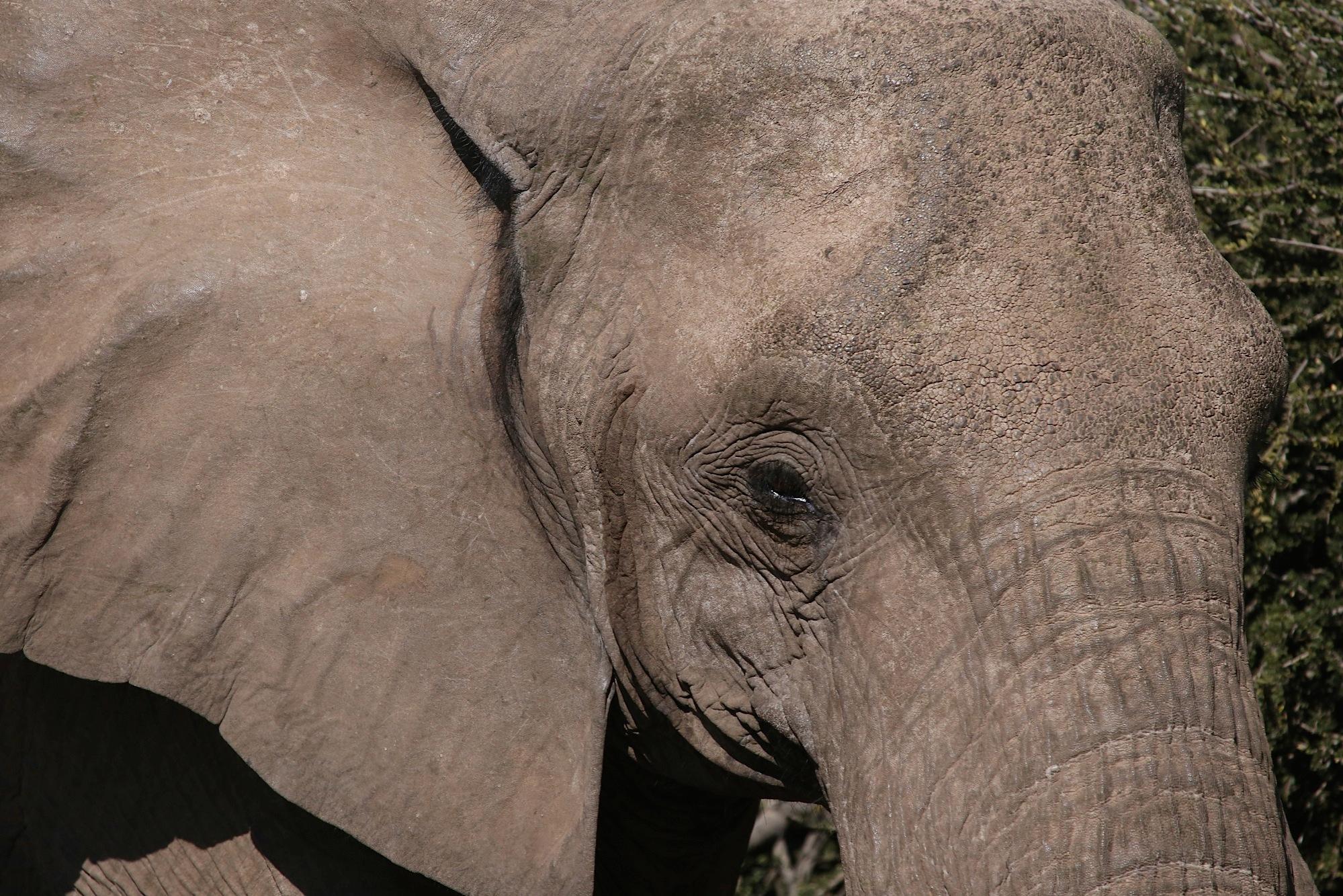 Bush Elephant by Laurie Puglia