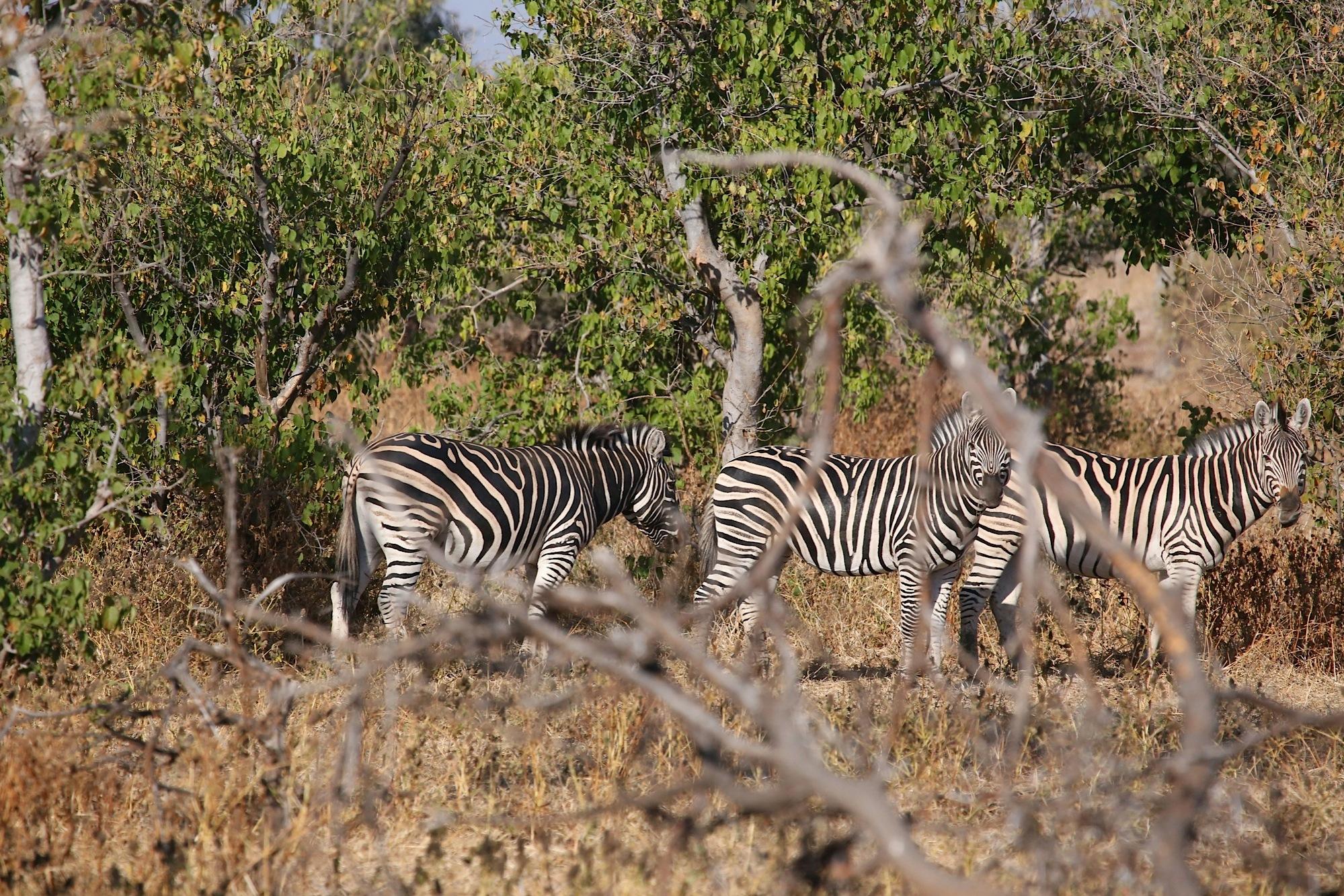 Grevy's zebra (Equus grevyi) by Laurie Puglia