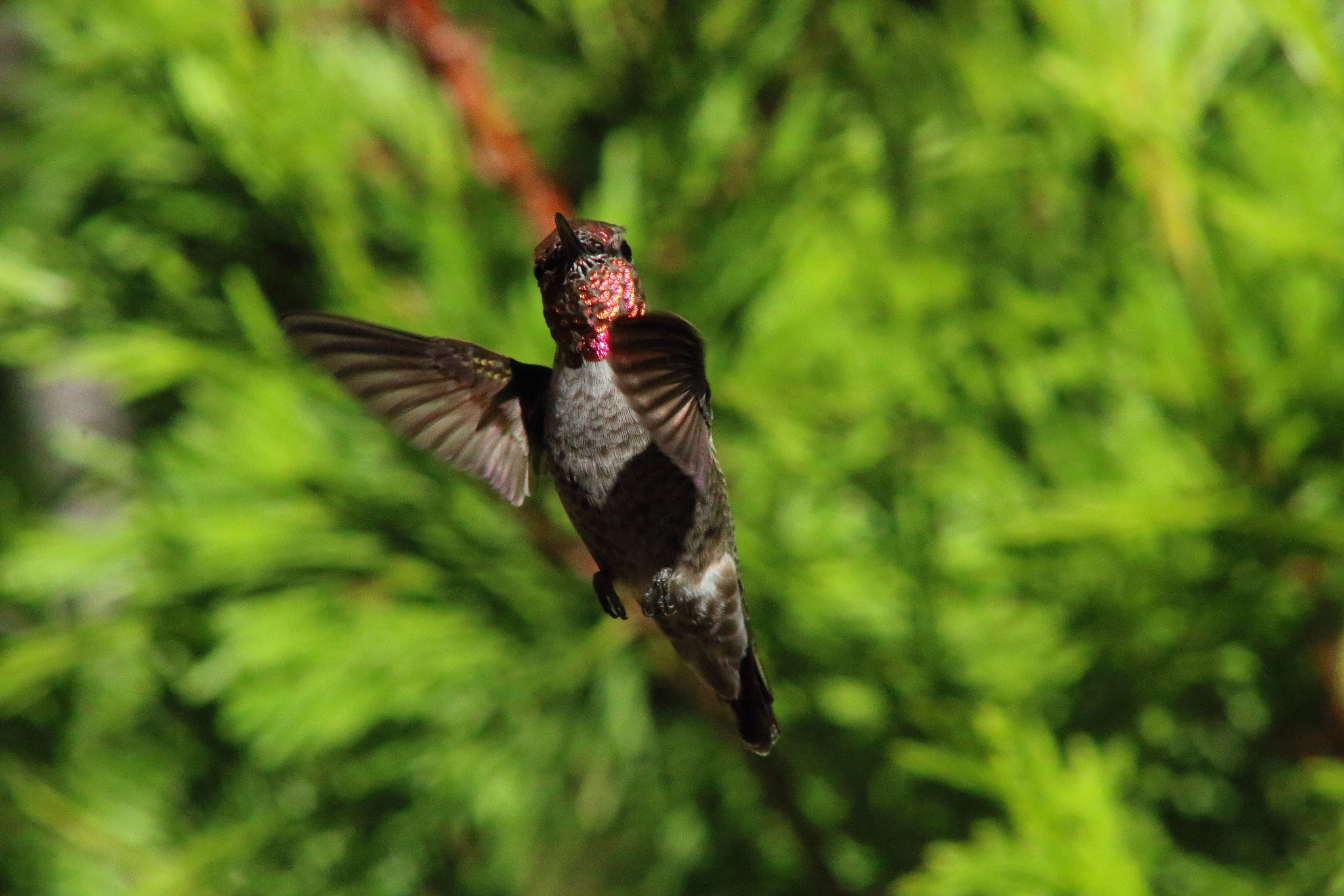 Anna's Hummingbird by Laurie Puglia