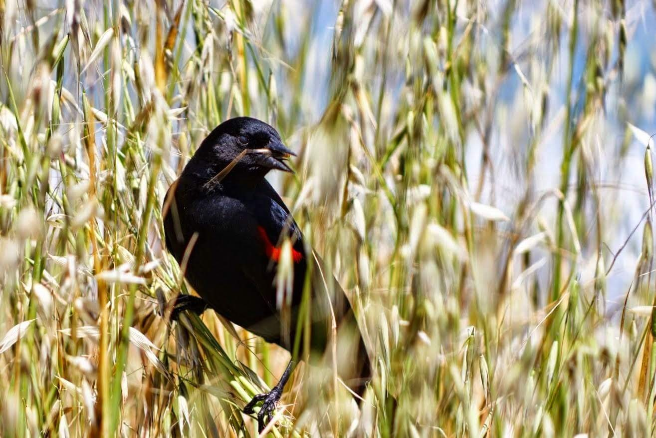 Red Winged Black Bird by Laurie Puglia