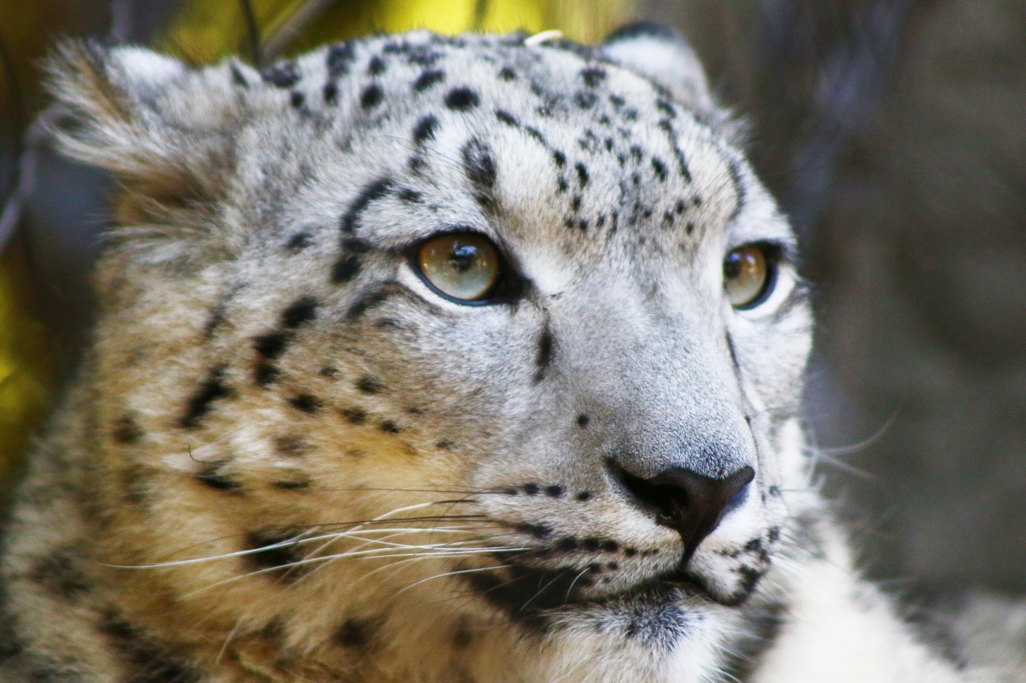 Snow Leopard by Laurie Puglia