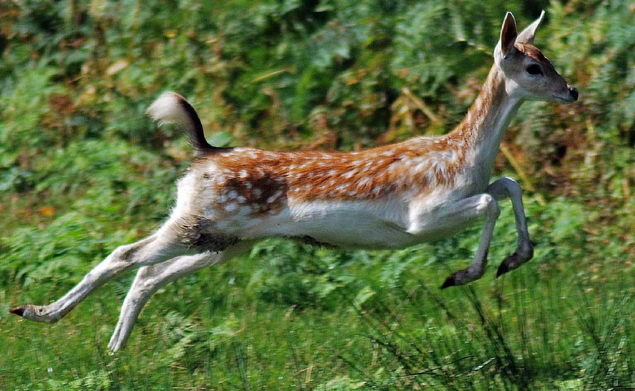 Bambi by Aligeeach