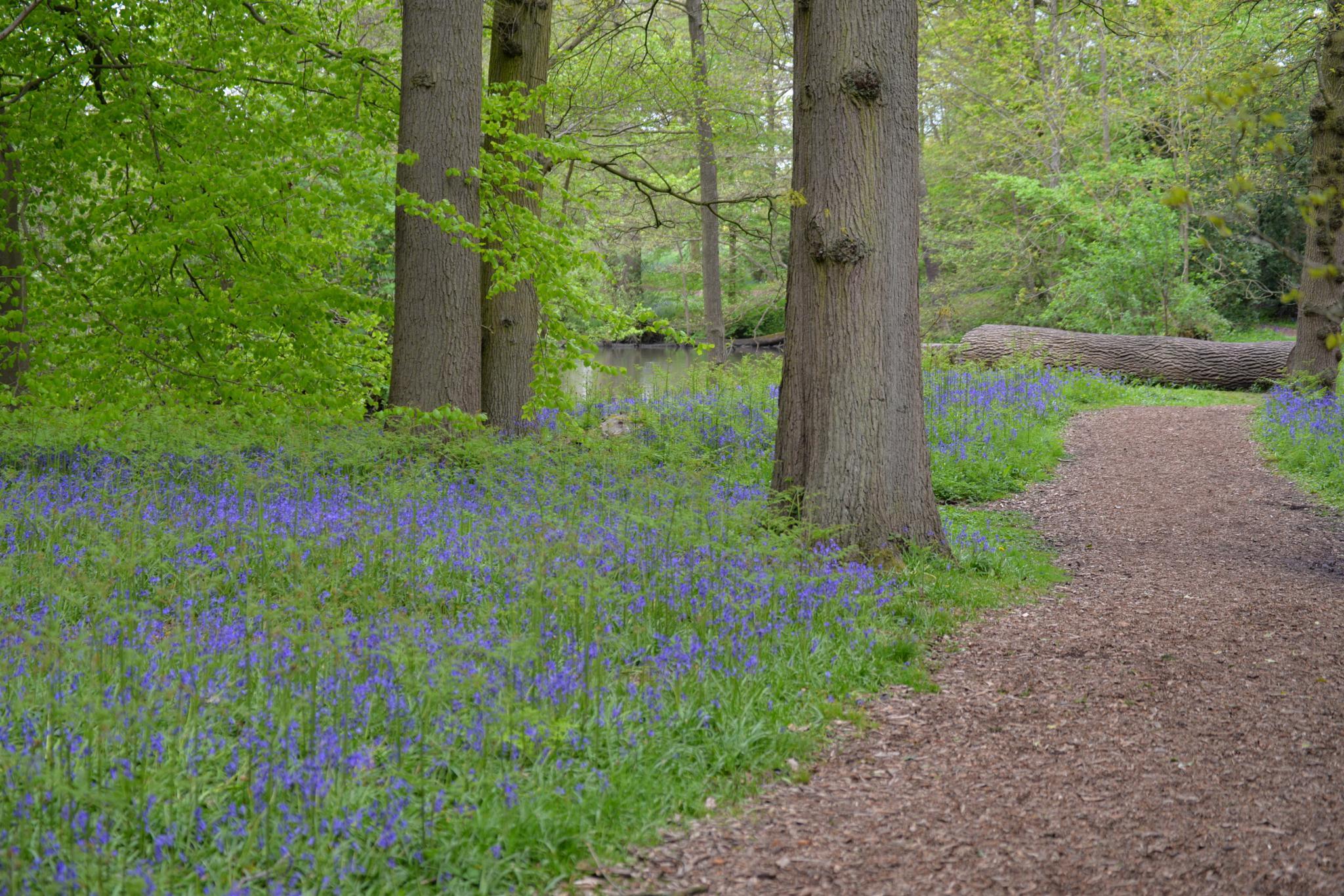 Bluebell Walk by Aligeeach