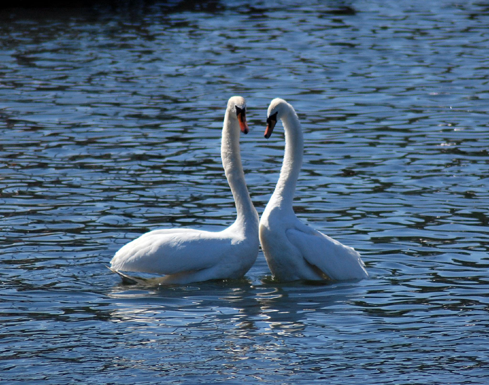 Photo in Animal #swans #birds #nature #uk #lakedistrict #lakewindermere #bownessinfurnace #aligeeach