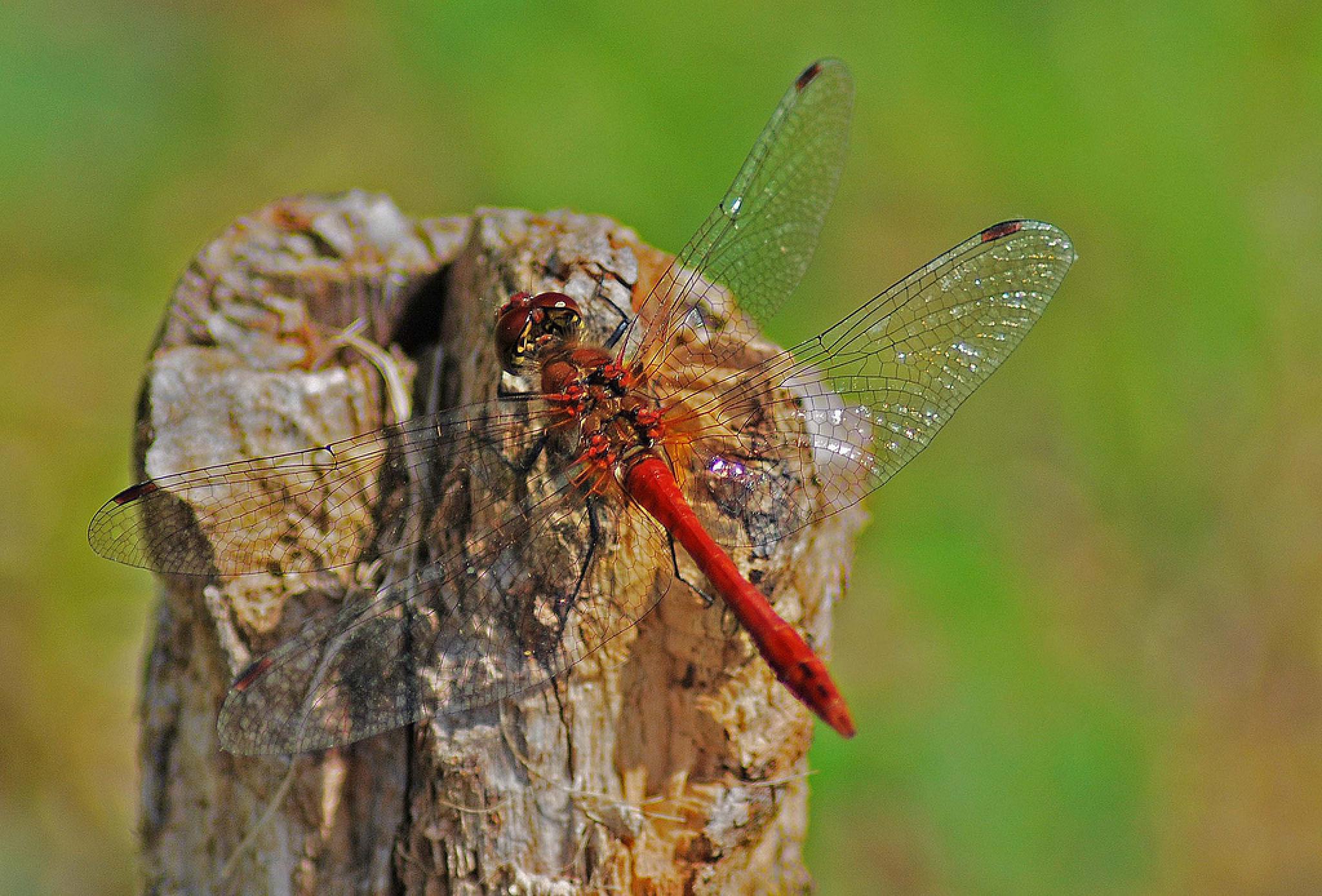 Photo in Macro #insect #flying #macro #wings #uk #aligeeach