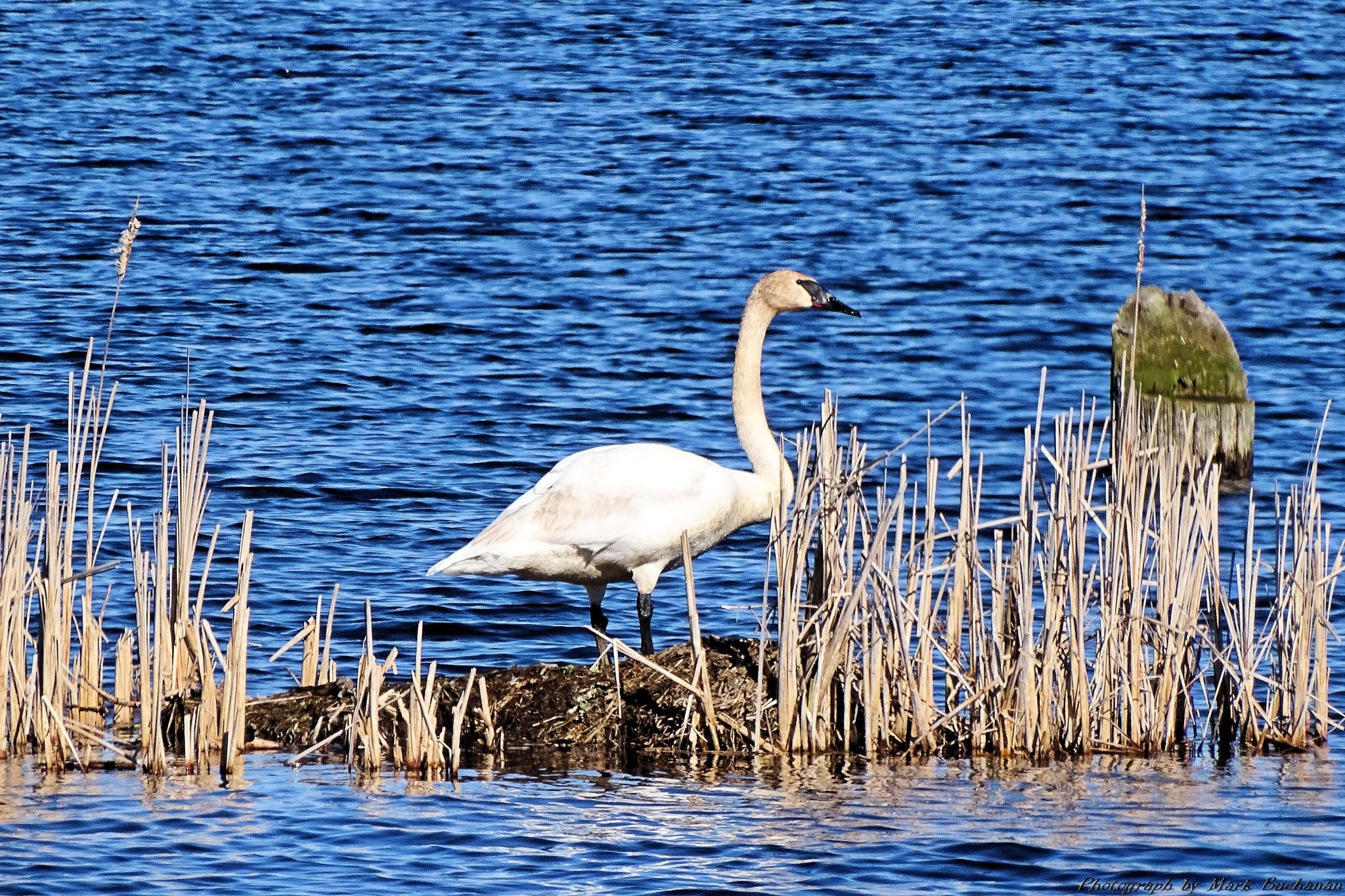 Trumpeter swan by Mark Buchanan