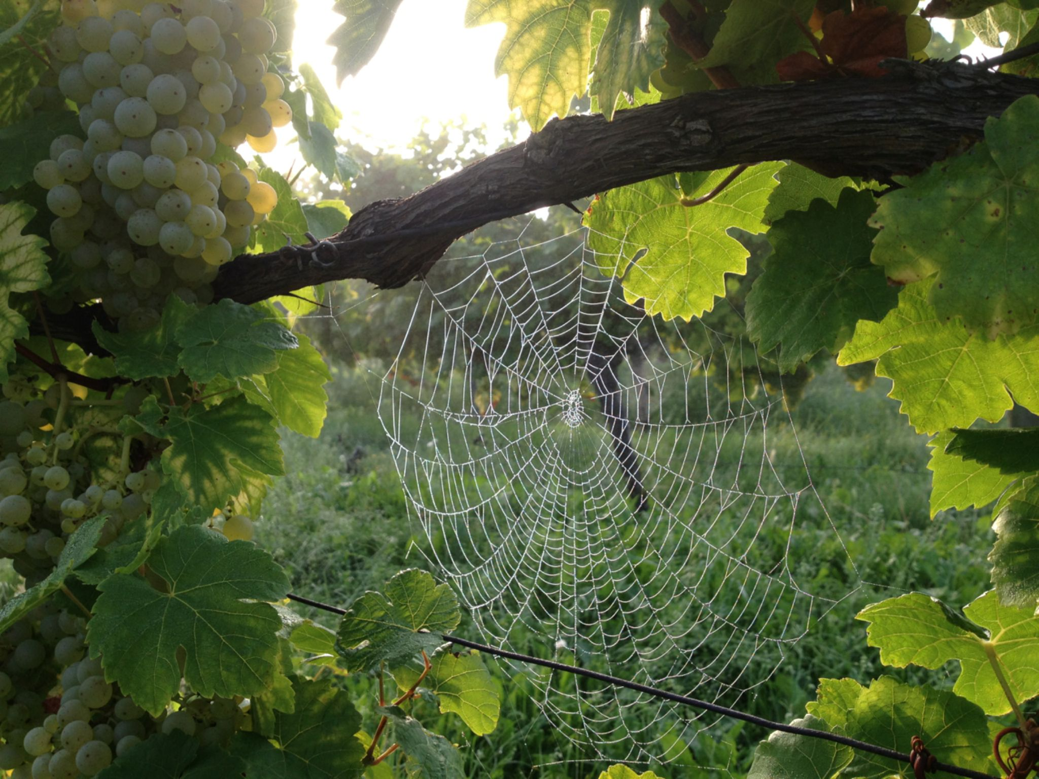 Spider-Pearly-Weather by Katy Haecker