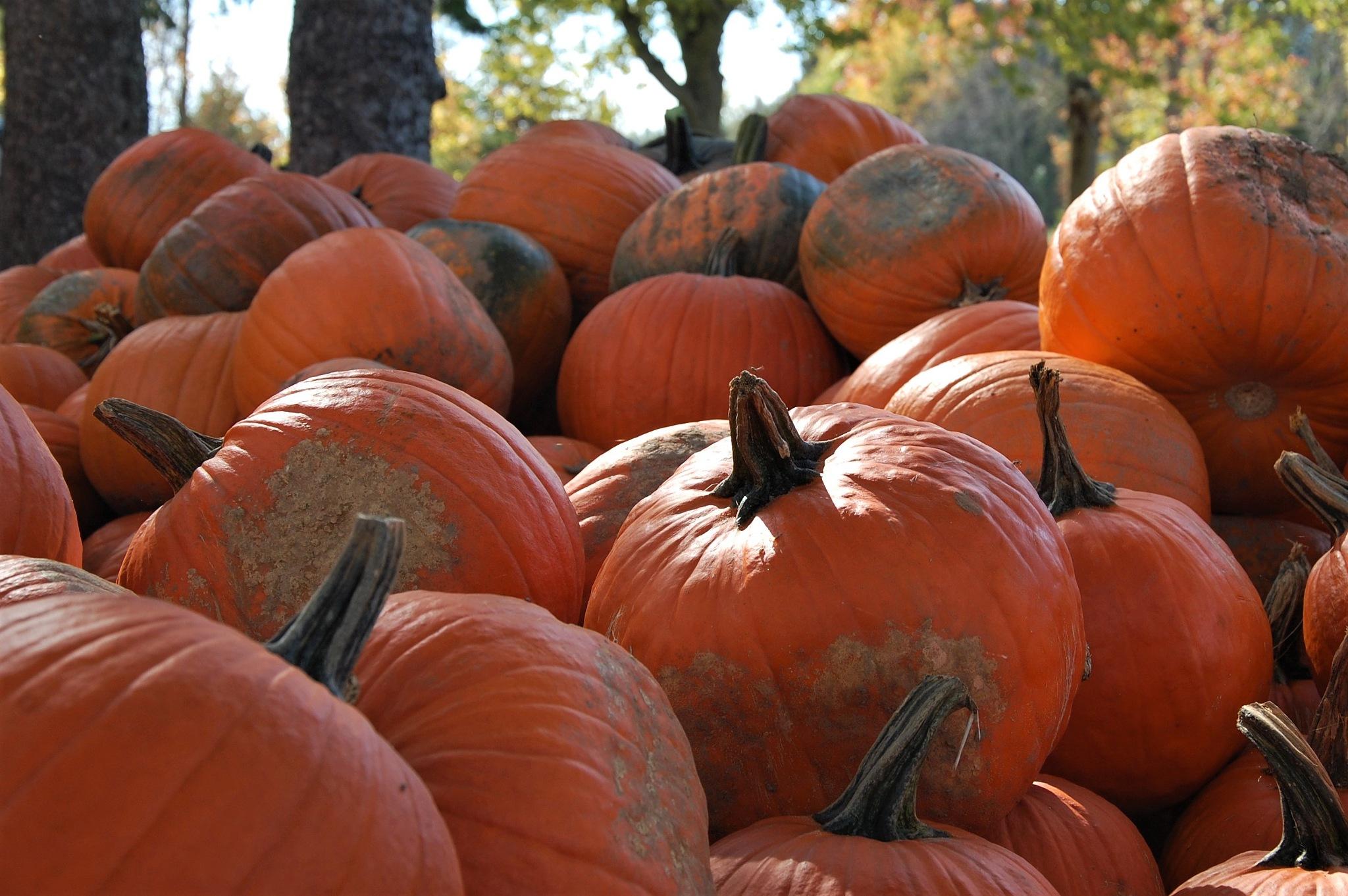 Pumpkin patch by CindyLou