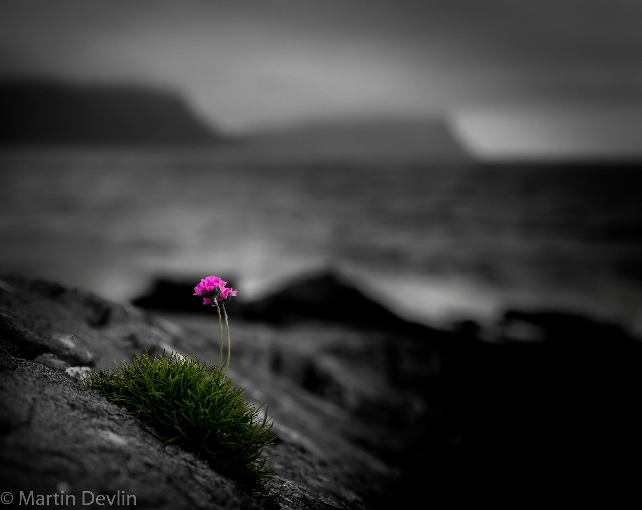The Pink Flower by Martin Devlin