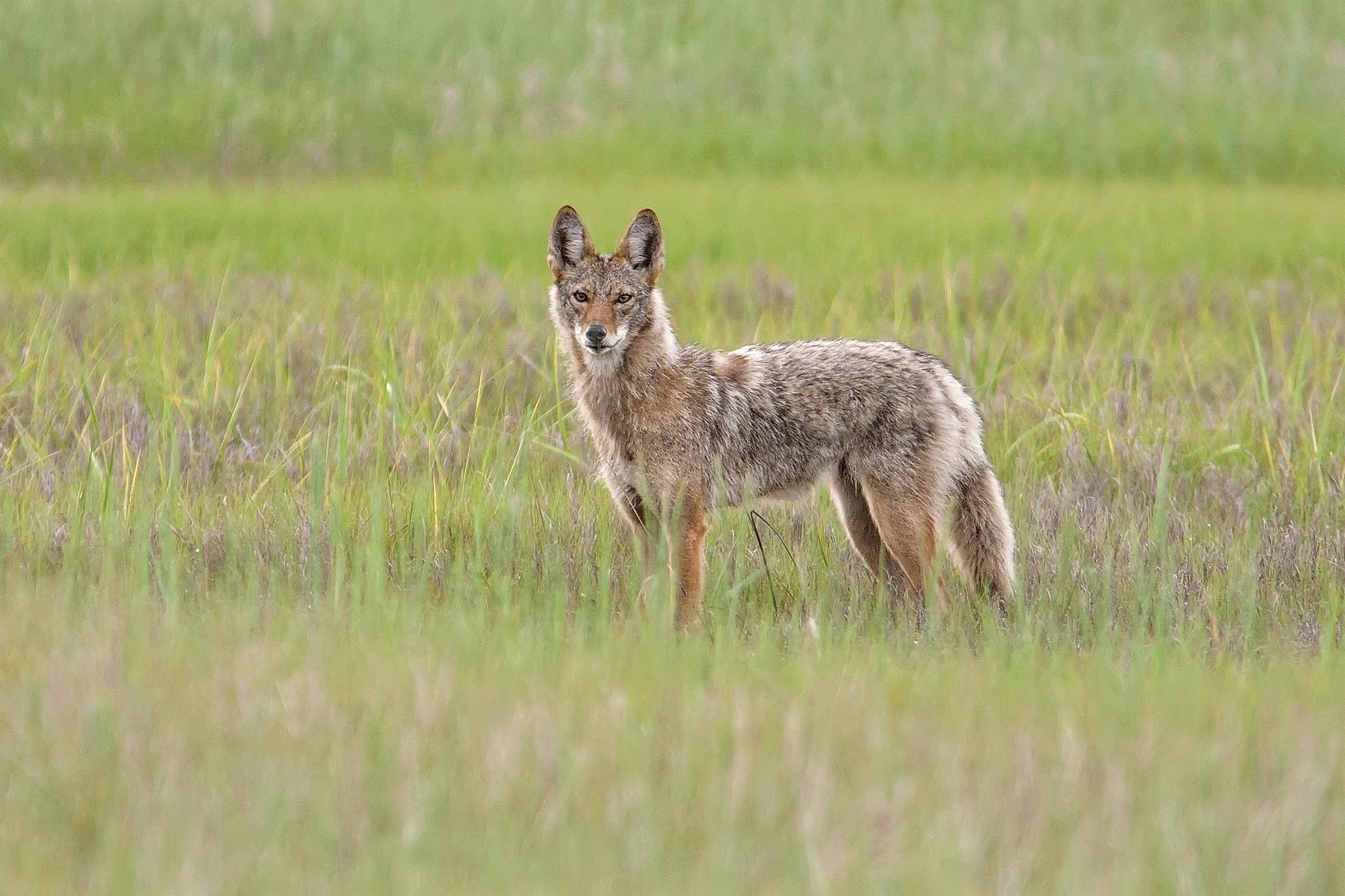 Wild Coyote (Canis latrans) by SylviaJFresson