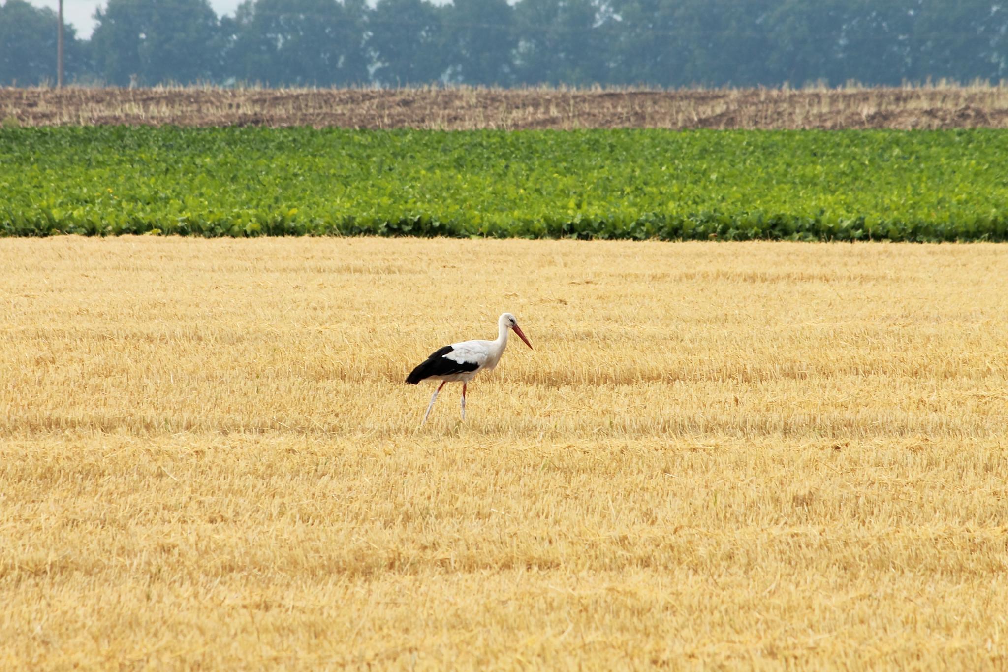 stork by Vasiliy Kotkov