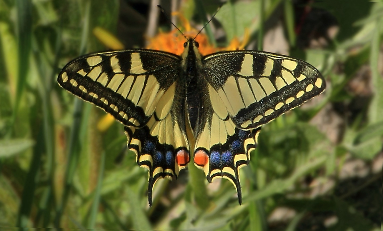 Papilio machaon /Парусник махаон/ by Vasiliy Kotkov