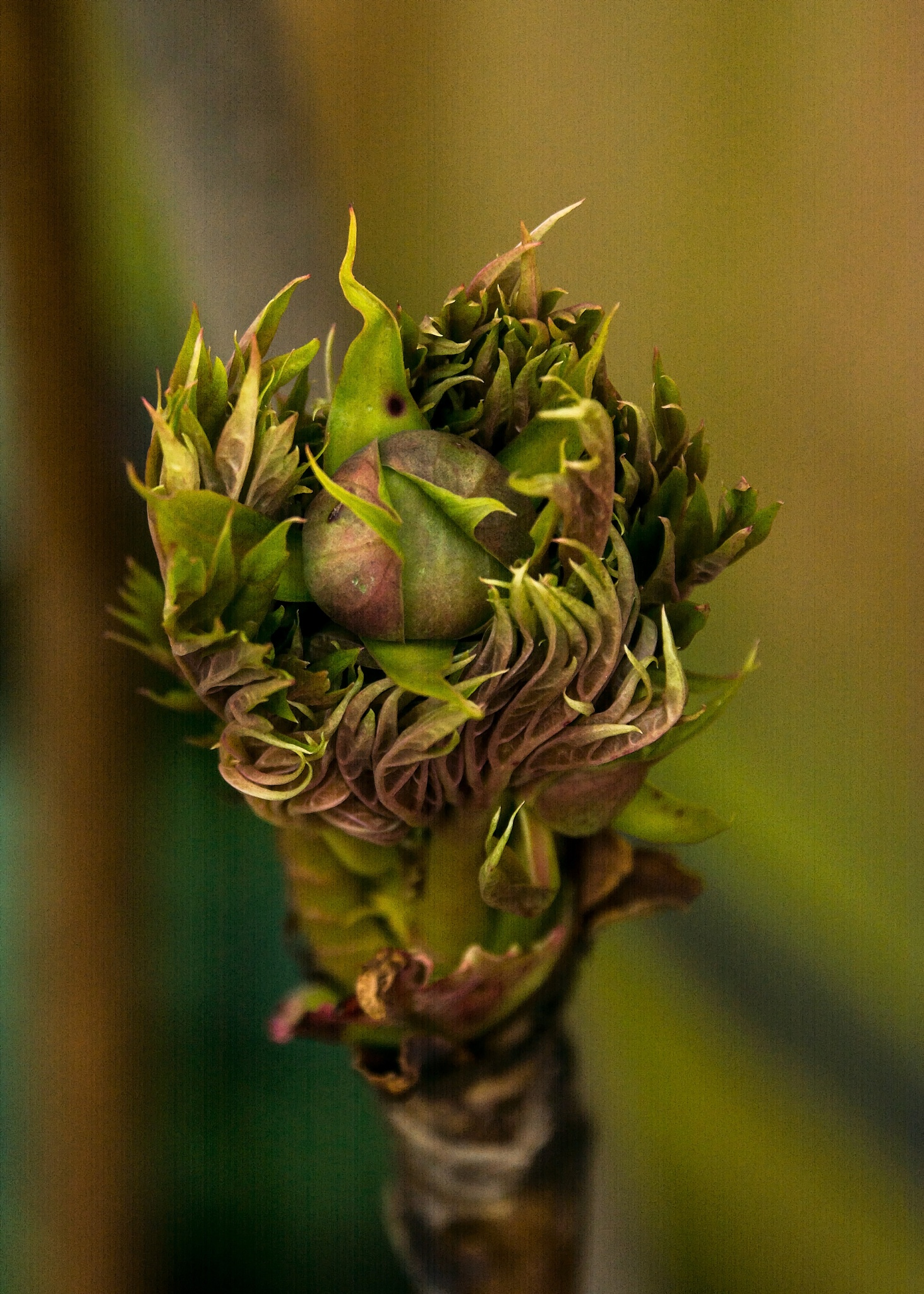 Photo in Nature #bud #rose #peony #macro