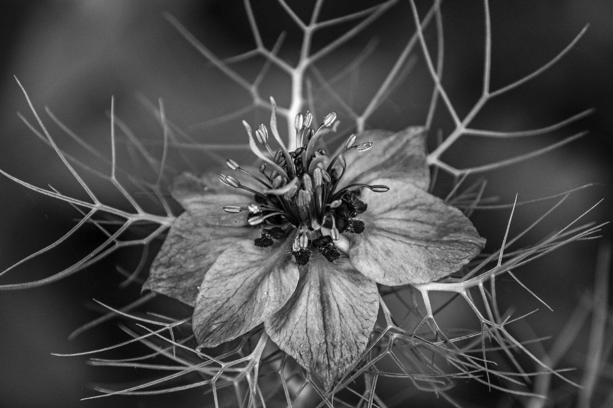 Photo in Black and White #flower #love in a mist #b&w #macro
