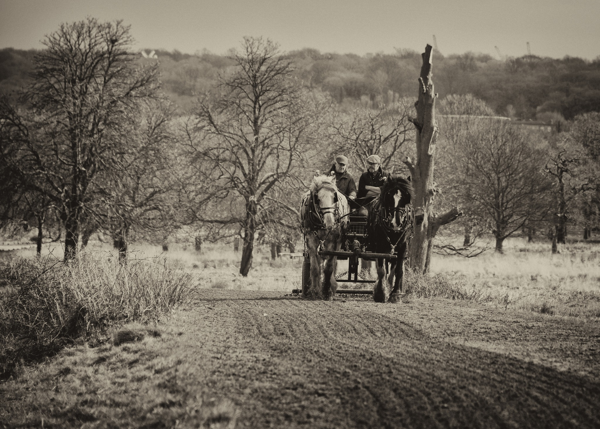 Shire Horses at Work by BrianS