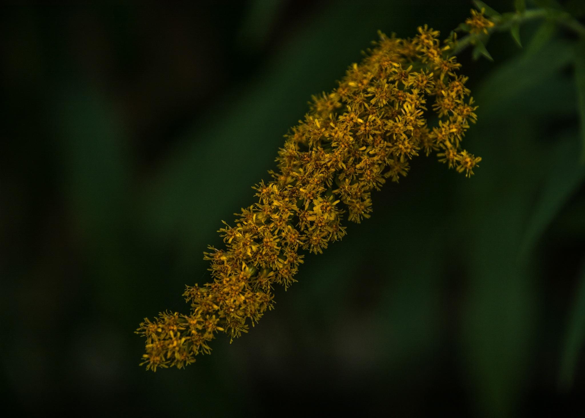 Golden Rod by BrianS