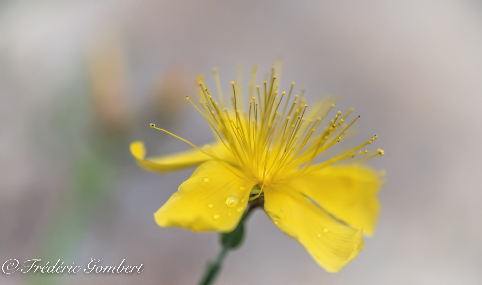 tiny yellow drop of Spring by Frederic Gombert