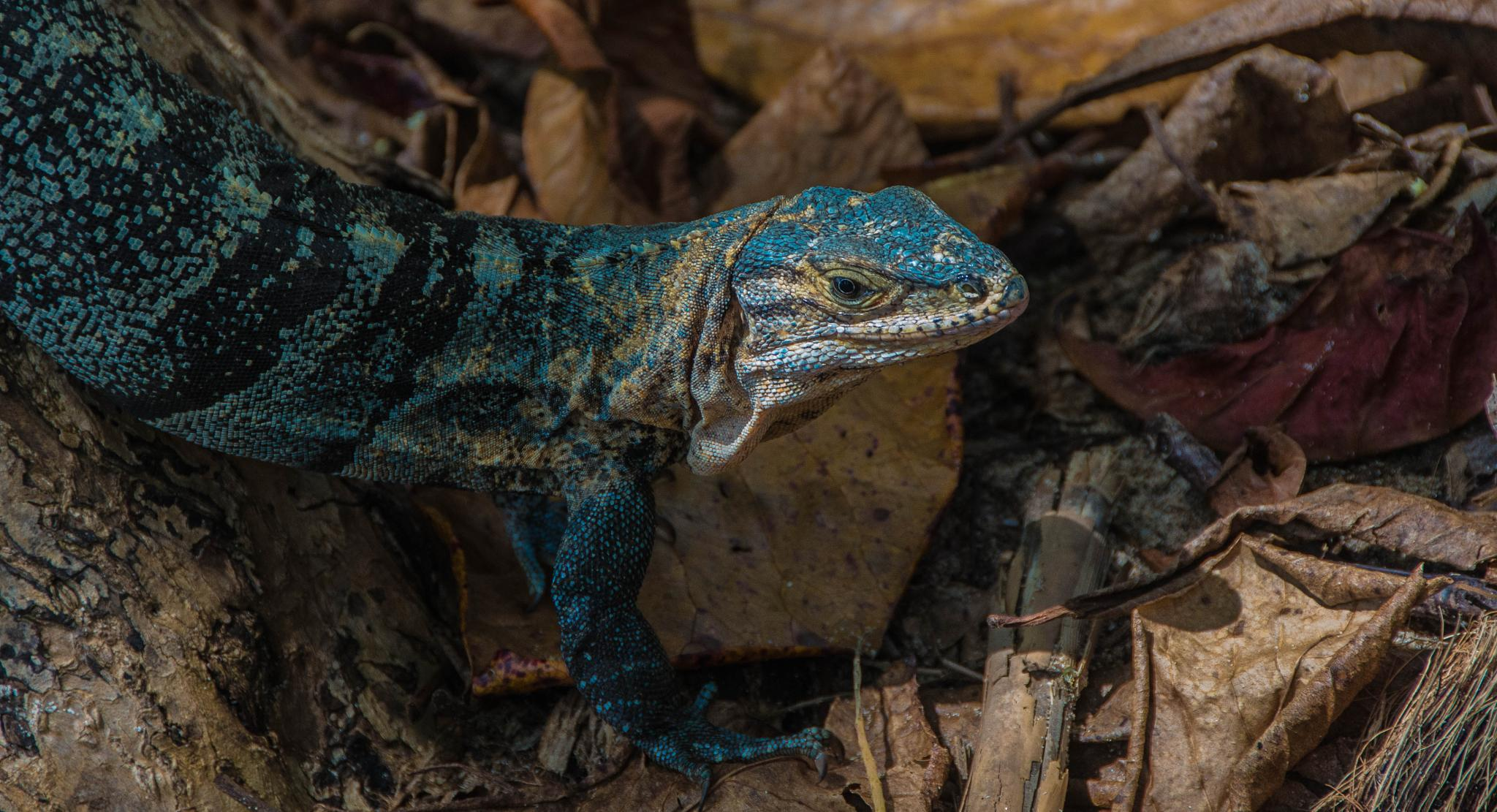 Photo in Nature #iguana #reptil #blue #eye #brown #leaf #sea #seaside #countryside
