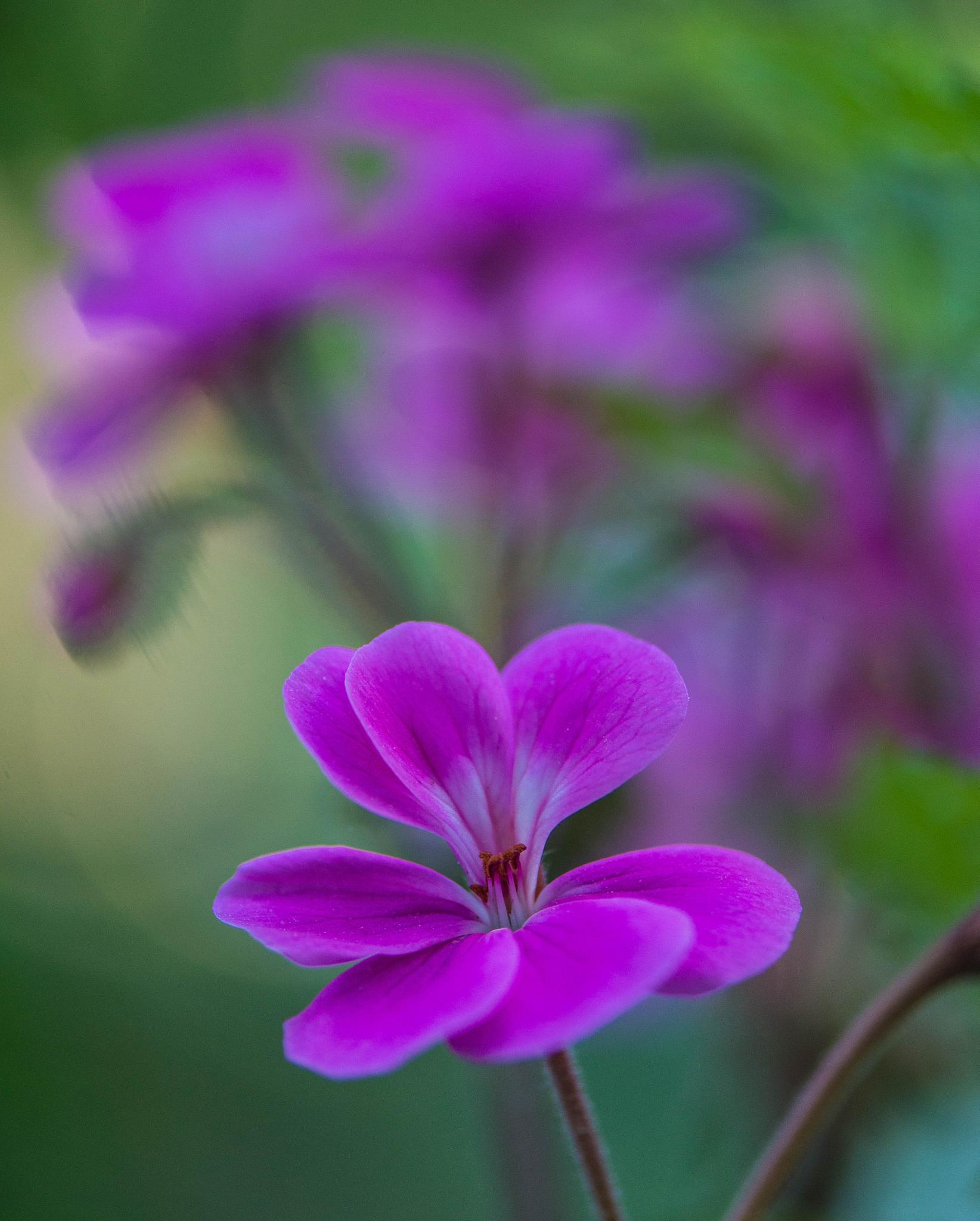 Photo in Macro #flower #geranium #green #pink #flowersummer #spring #color #colorful #light #sun