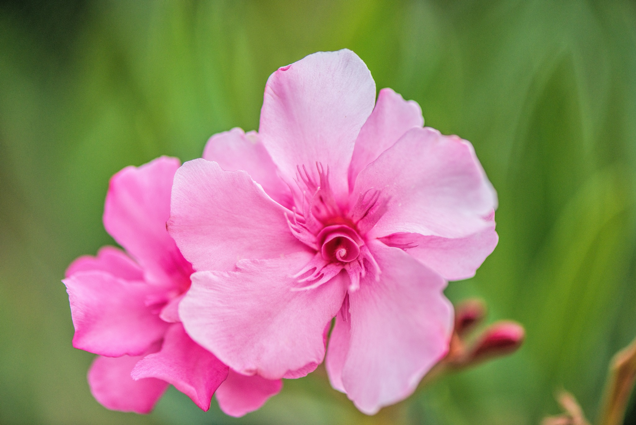 Photo in Macro #portrait #pink #flower #flowers #light #sun #oleander #sunlight #color #summer #spring